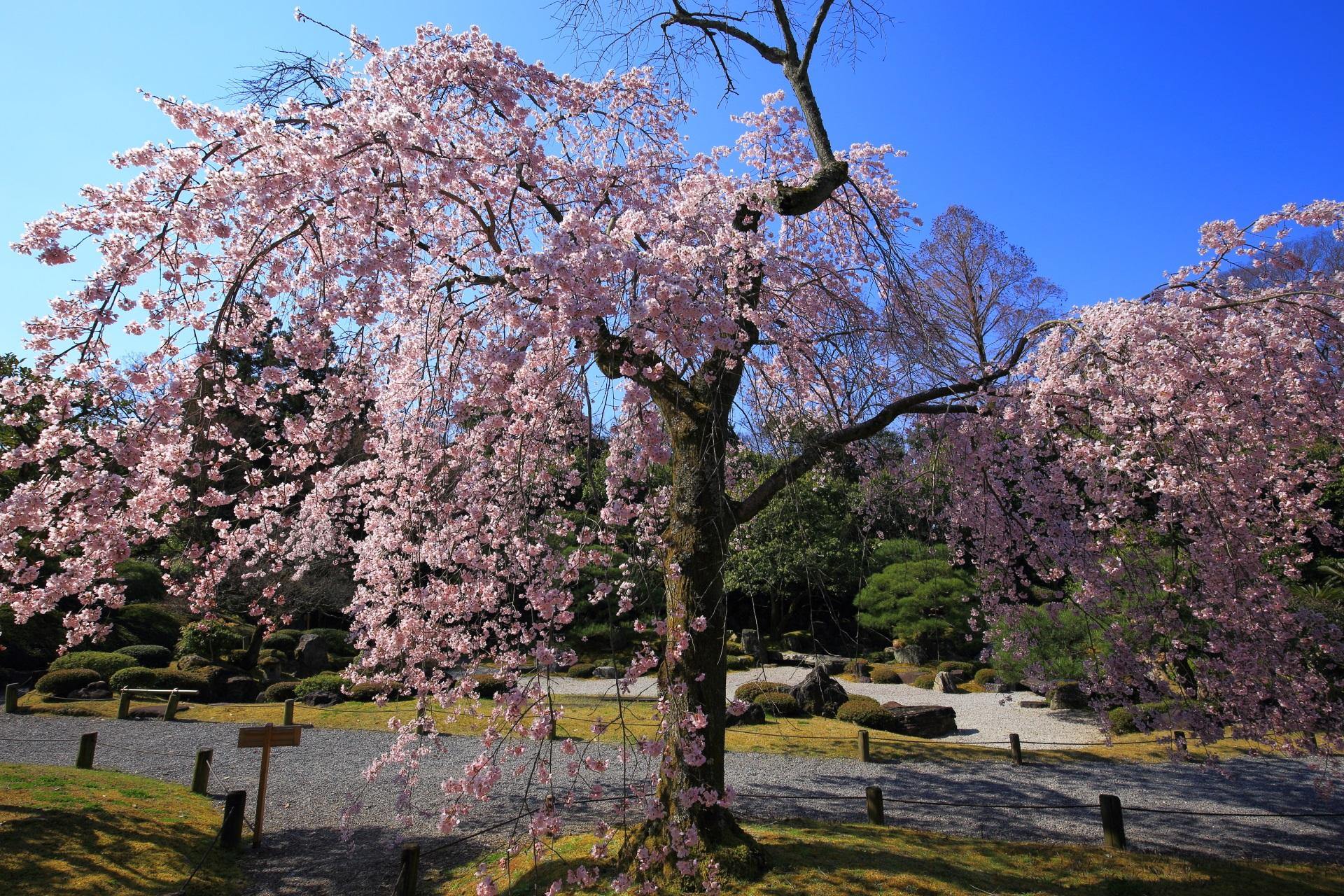 友禅苑の枯山水庭園の傍らに立つしだれ桜