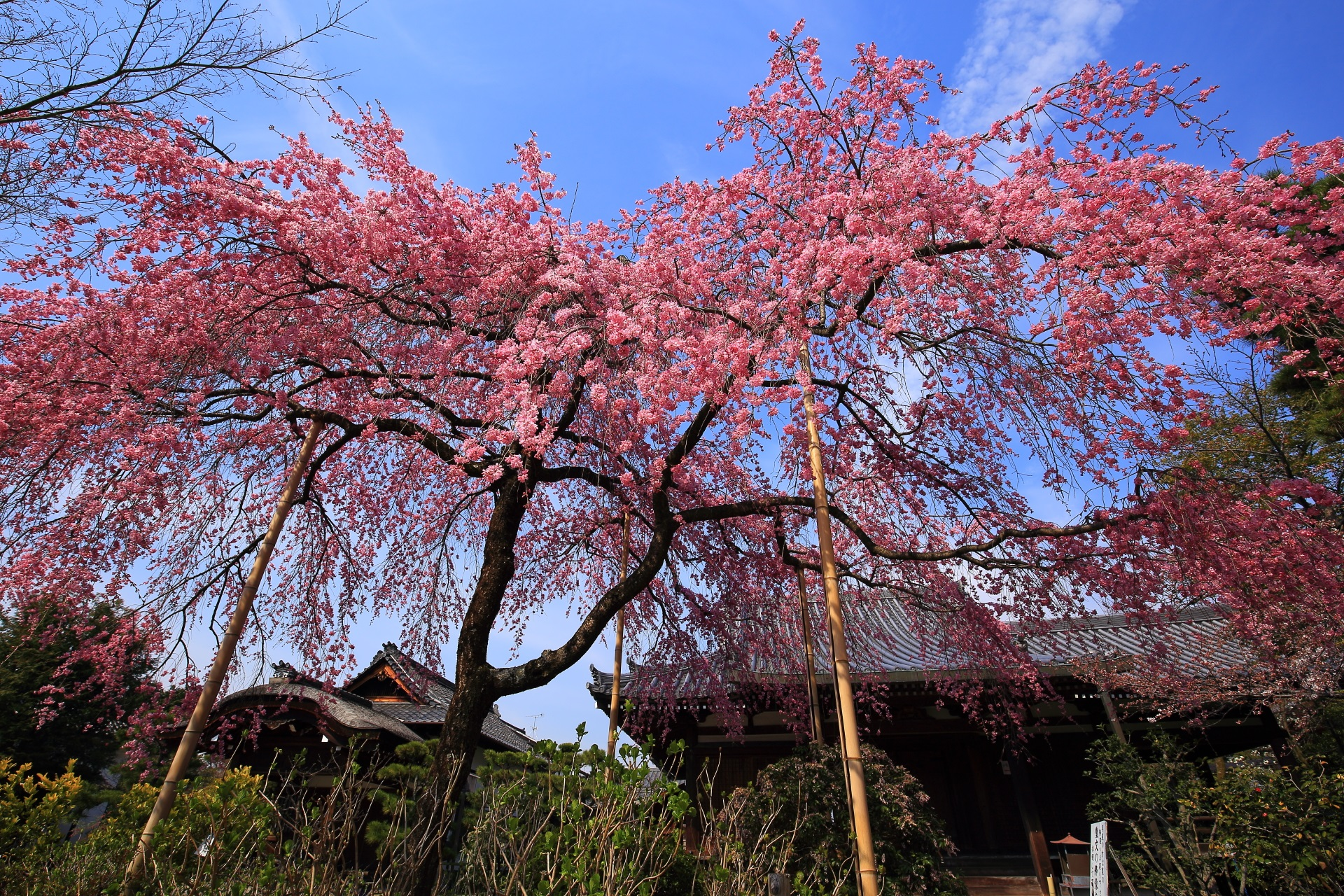 最後の青空となった法金剛院の桜