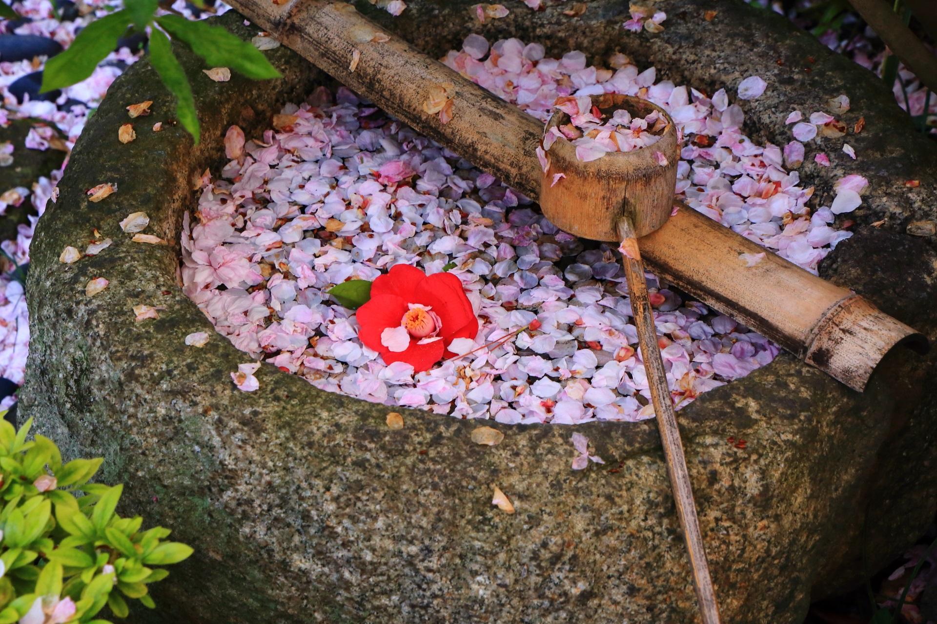 水鉢の散り桜と散り椿