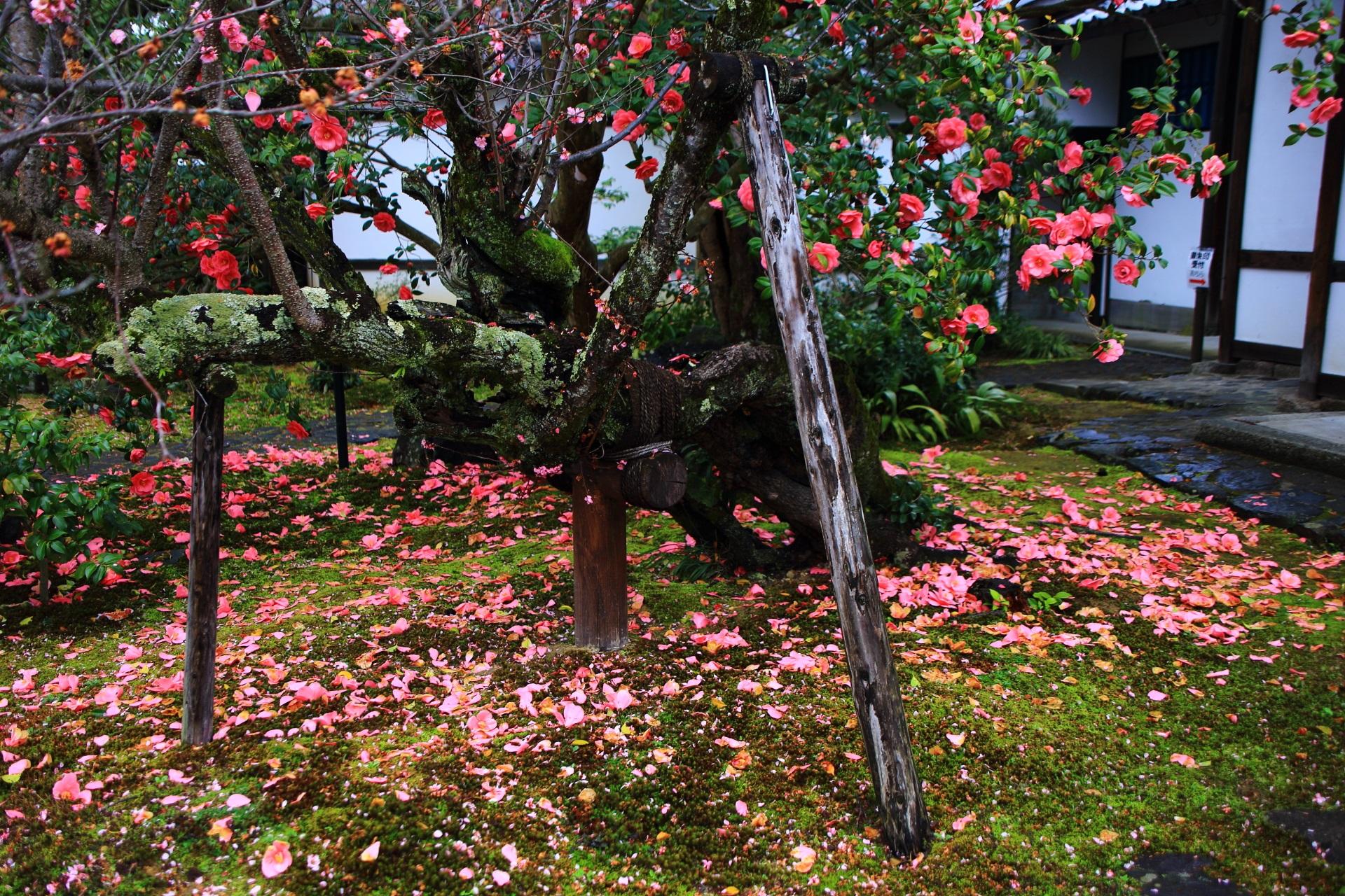 霊鑑寺の玄関付近の見事な散り椿
