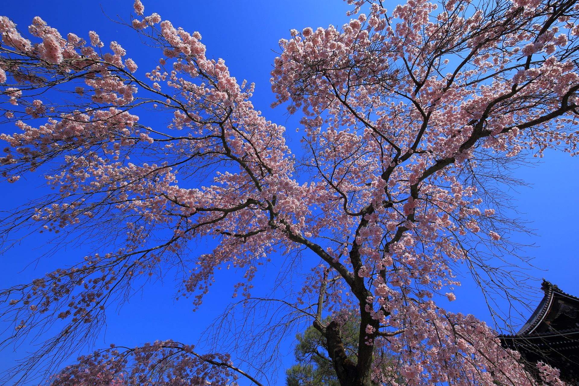 青空から降り注ぐピンクの桜のシャワー