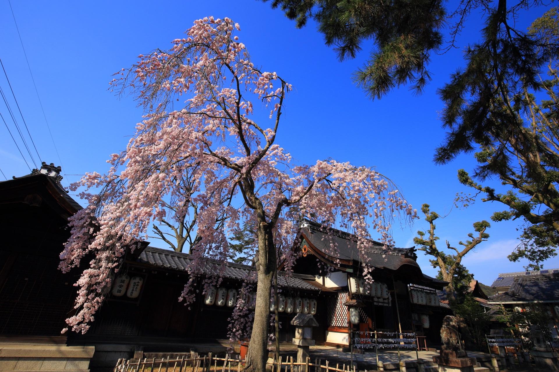 縣神社の素晴らしい木の花桜と青空と春の情景
