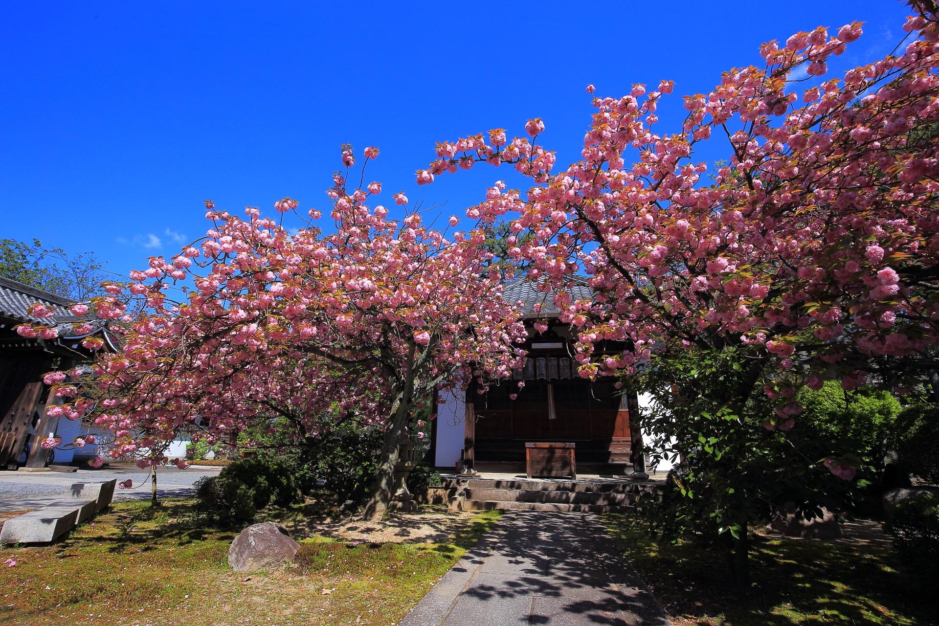 七面大明神前の八重桜(里桜)