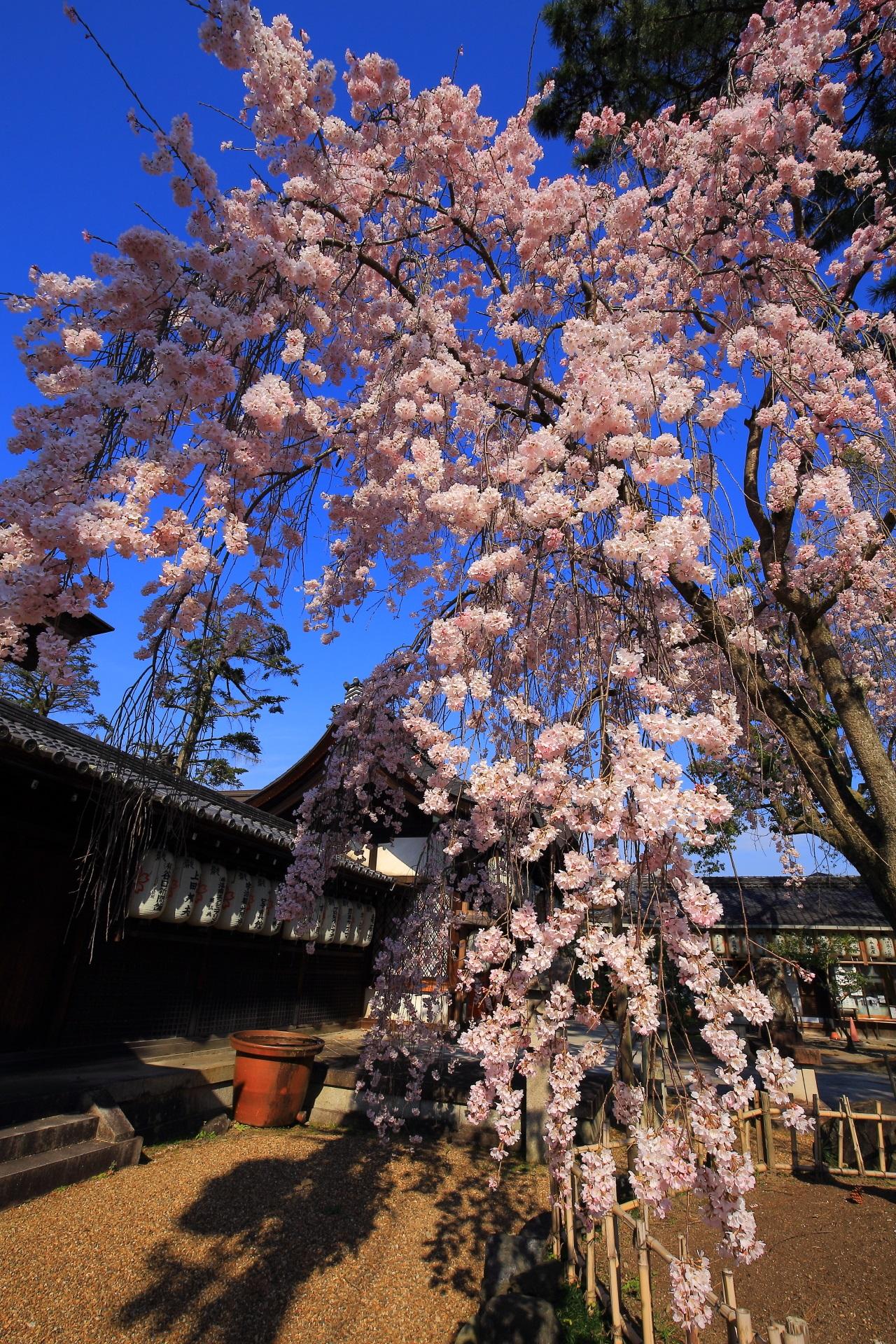 花が弾け飛びそうなくらいに咲く縣神社のしだれ桜