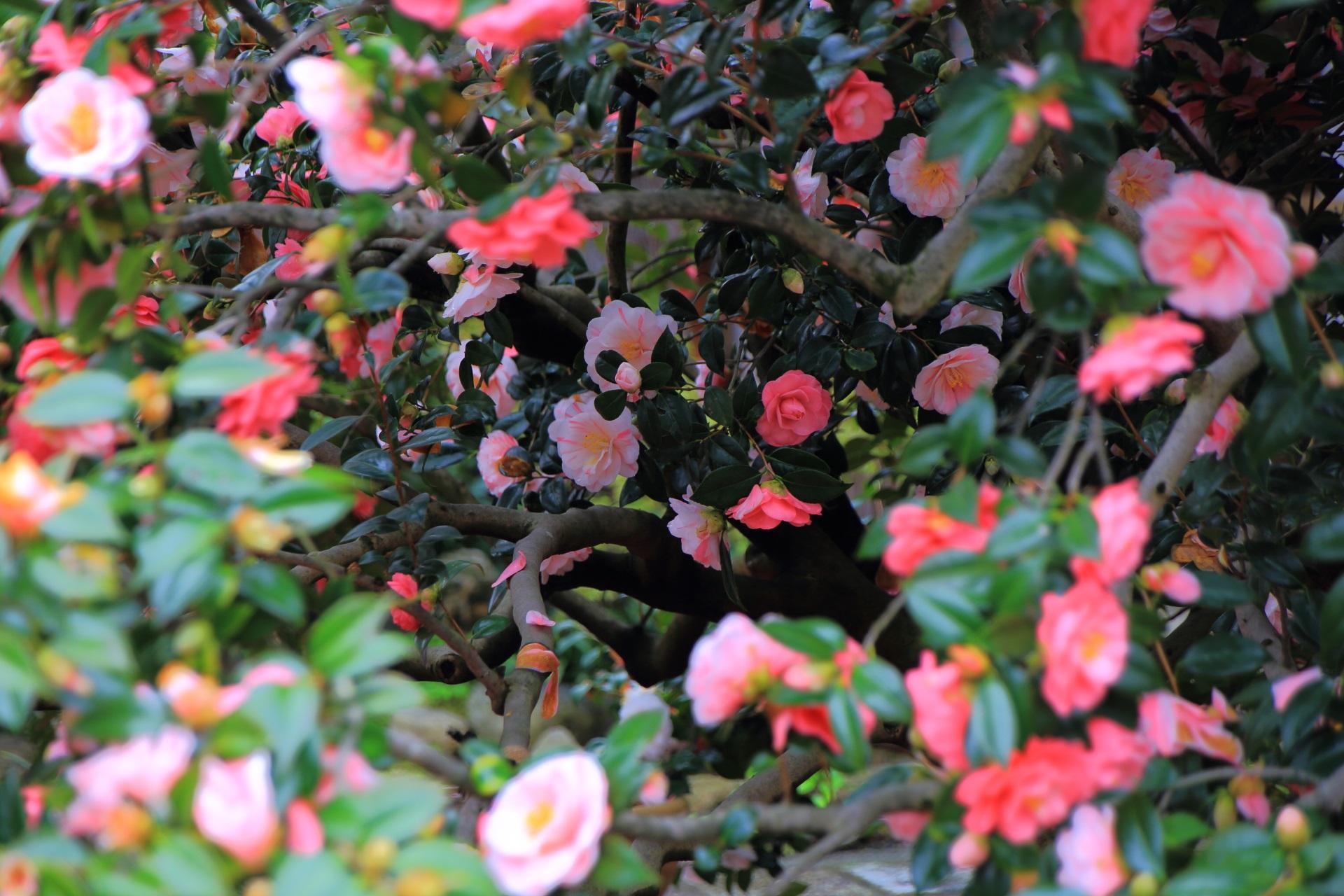 奥の方まで咲く椿の花