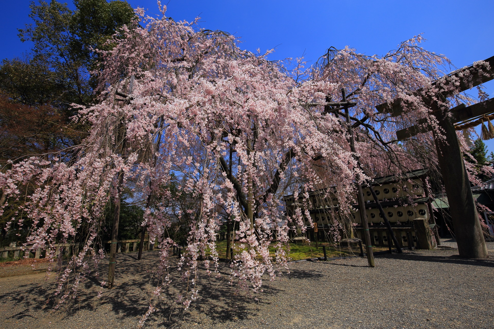 別の場所や角度から眺めた大石桜
