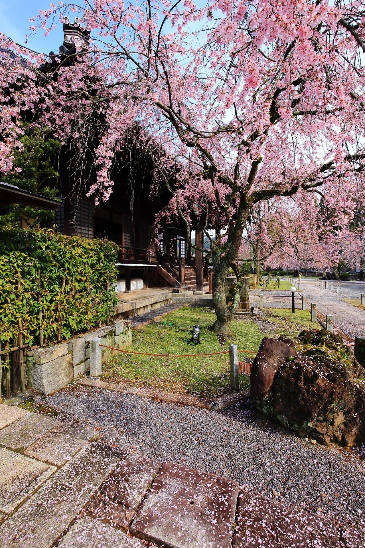 桜が降り注ぐ妙満寺の大書院