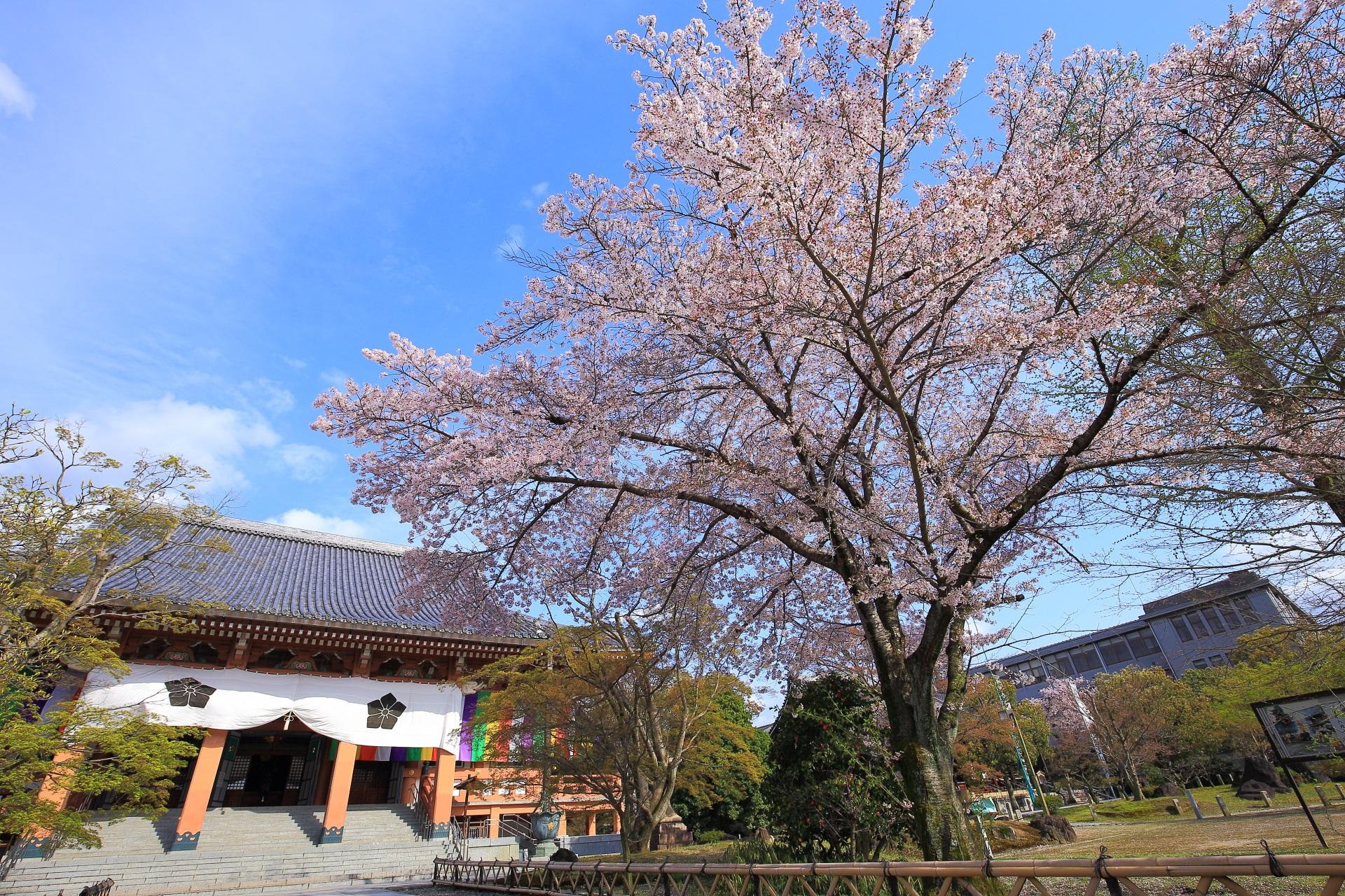 青空がやはり良く合う金堂すぐ前の桜