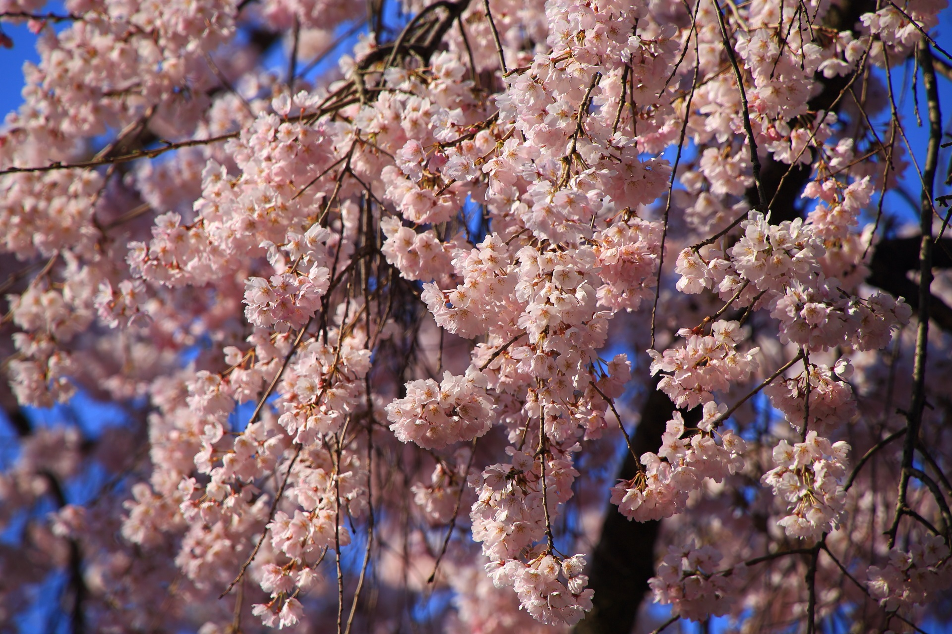 縣神社の華やかに咲き誇る木の花桜