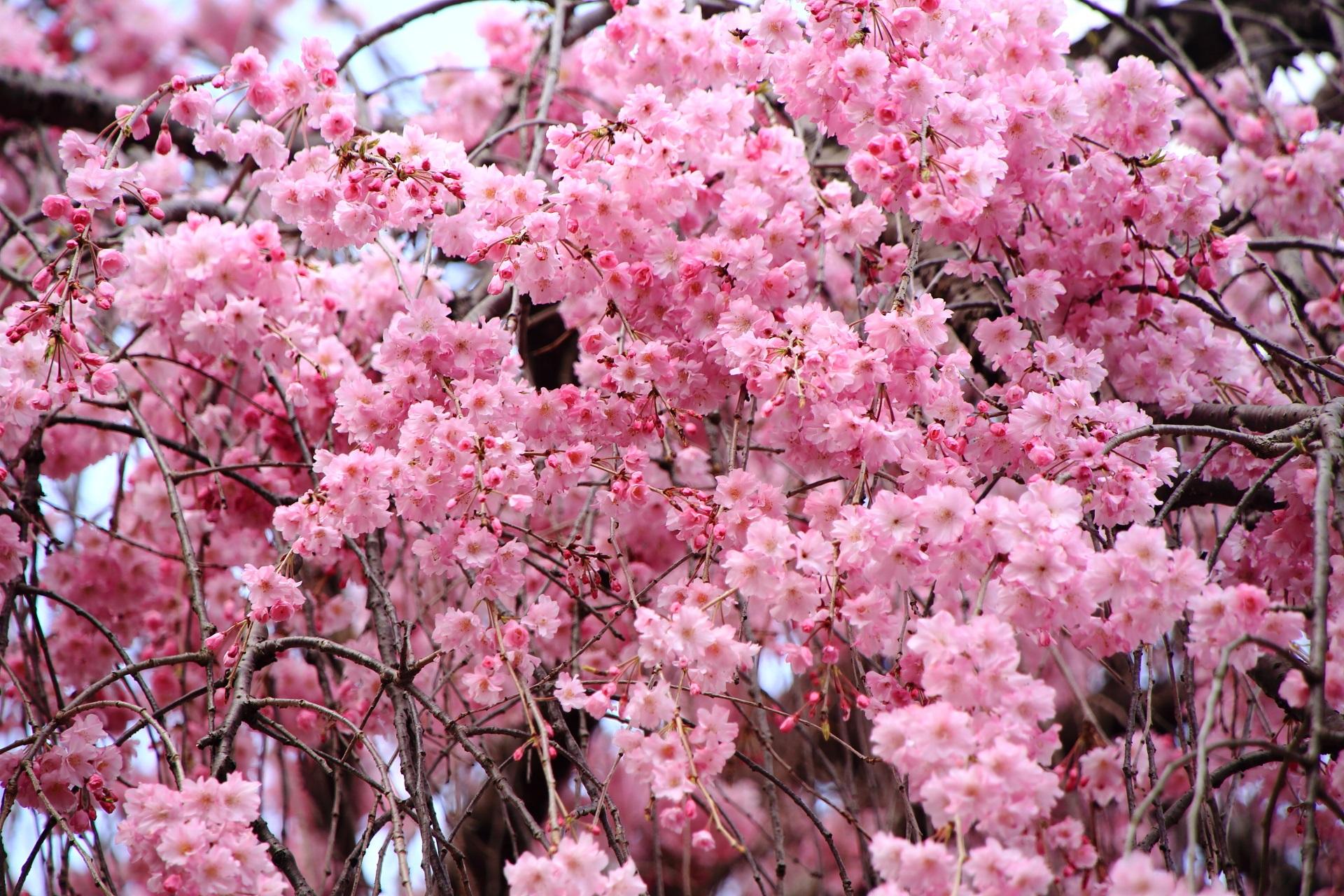 花の密度が凄いどんどん咲くしだれ桜