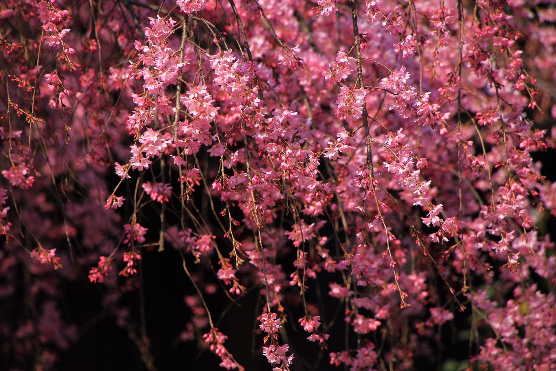花びら一つ一つは繊細なつくりの桜