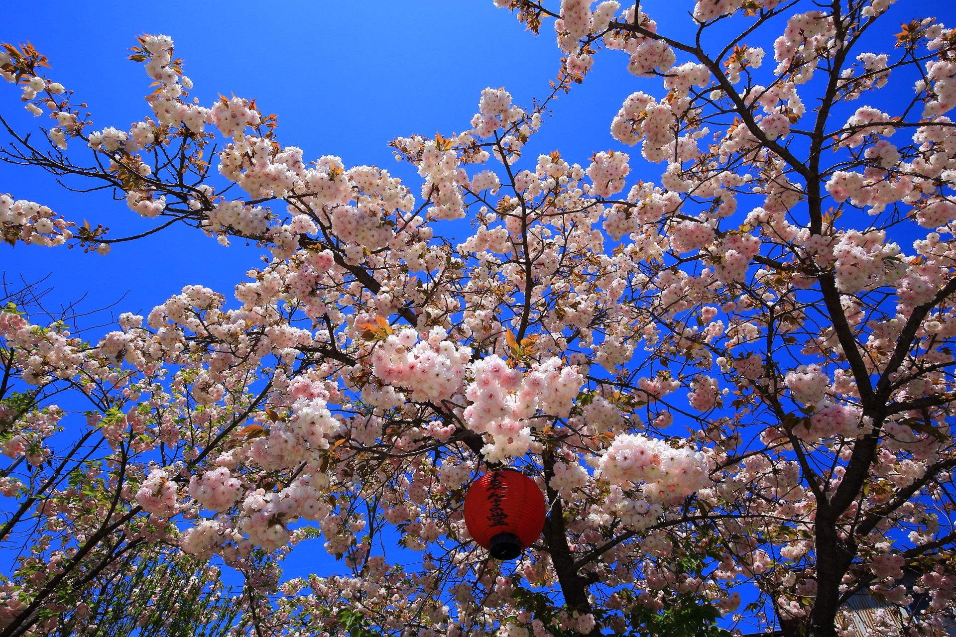 死刑囚に見せて改心を図ったと言われる千本ゑんま堂の桜