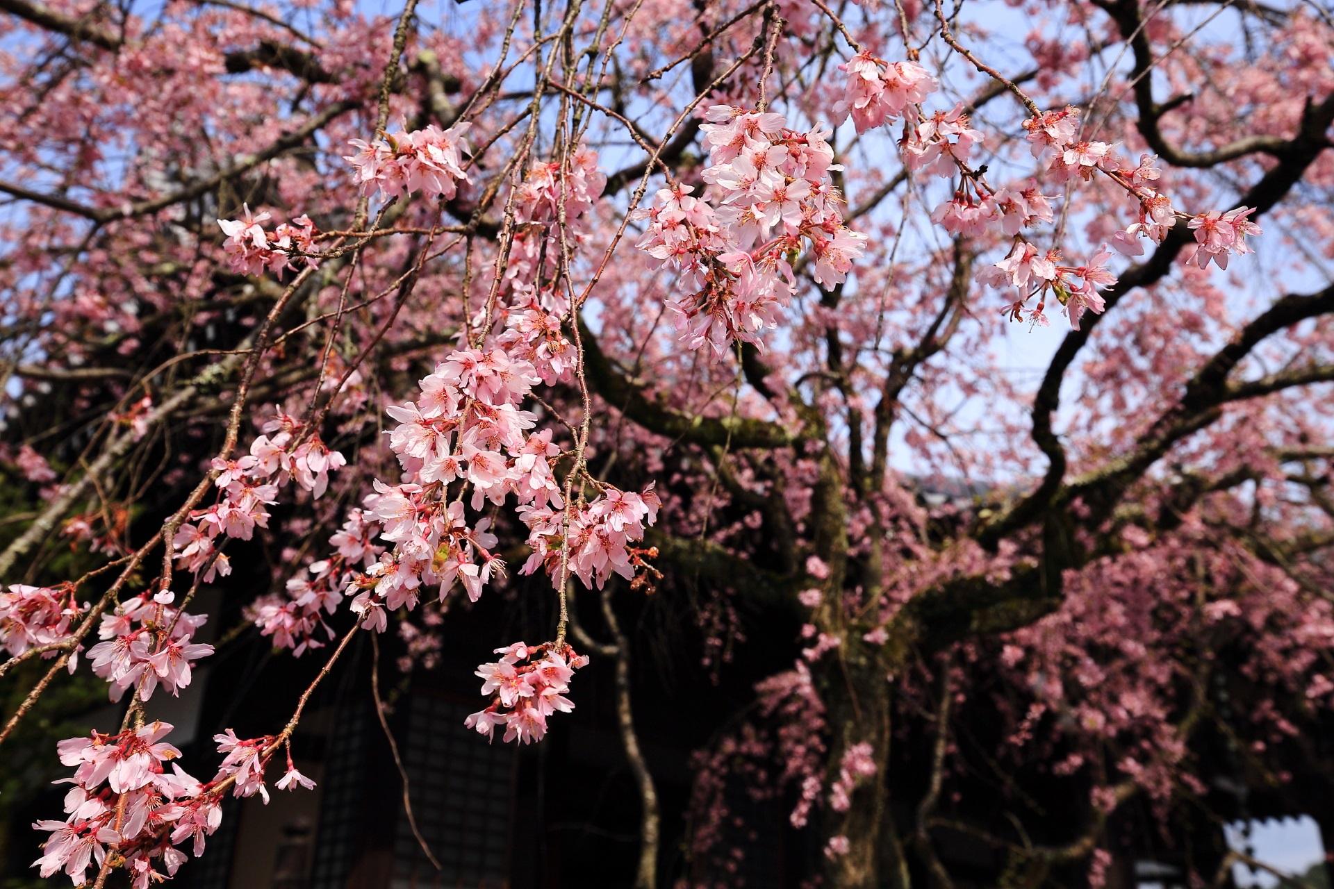 少し覗いた青空と鮮やかな枝垂れ桜