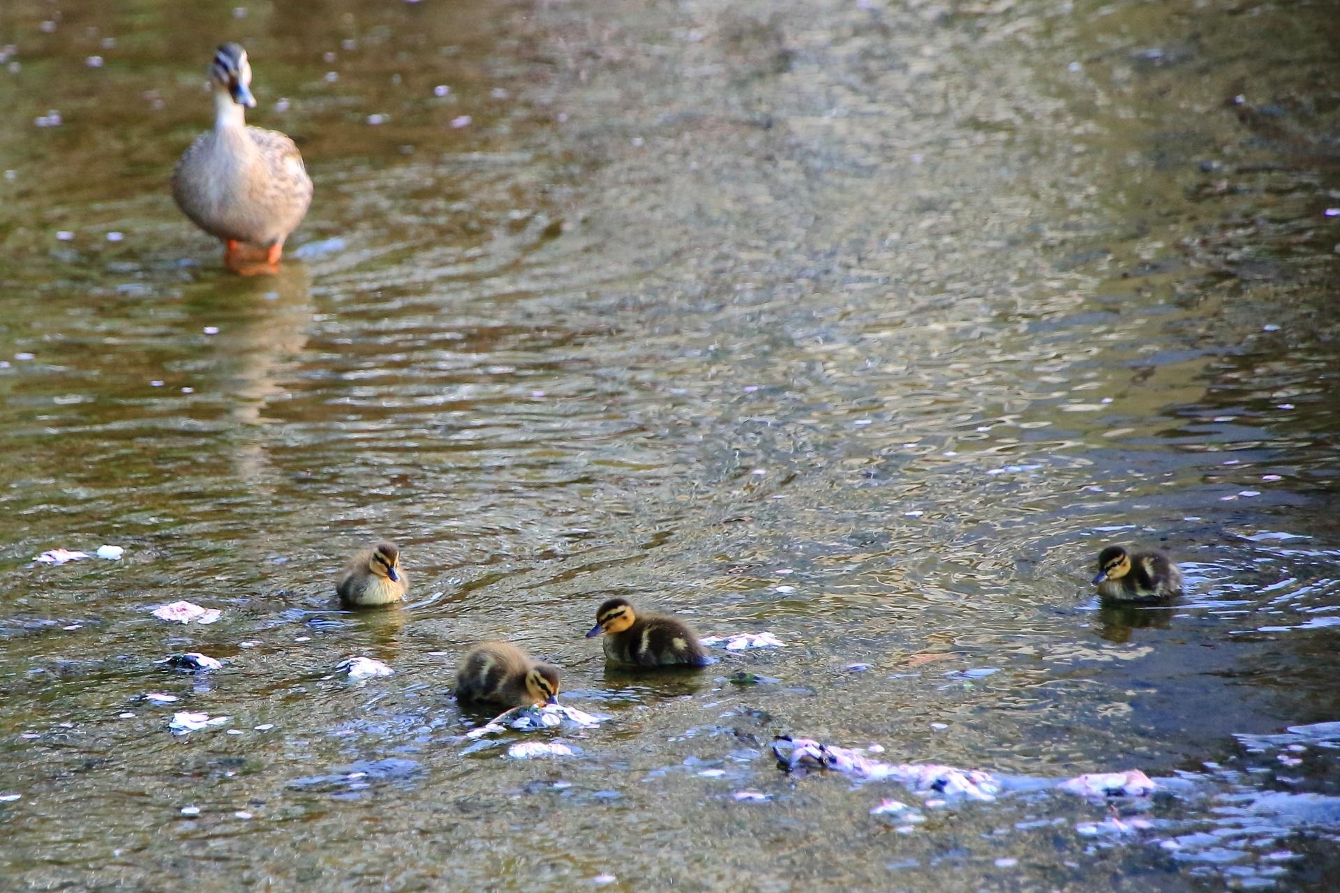 親鴨が見守る散り桜と戯れる子鴨