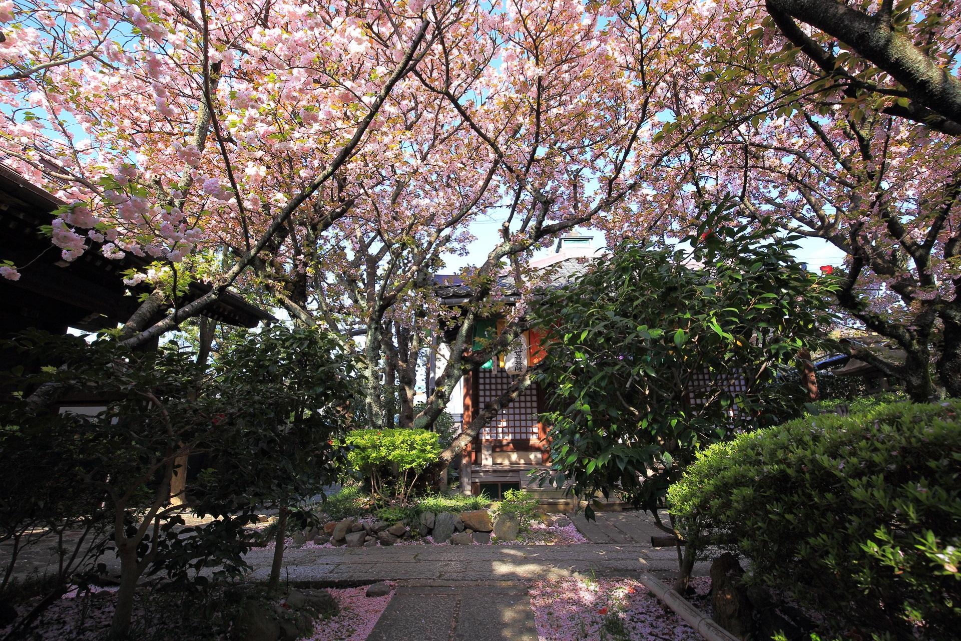 歓喜聖天前の歓喜桜