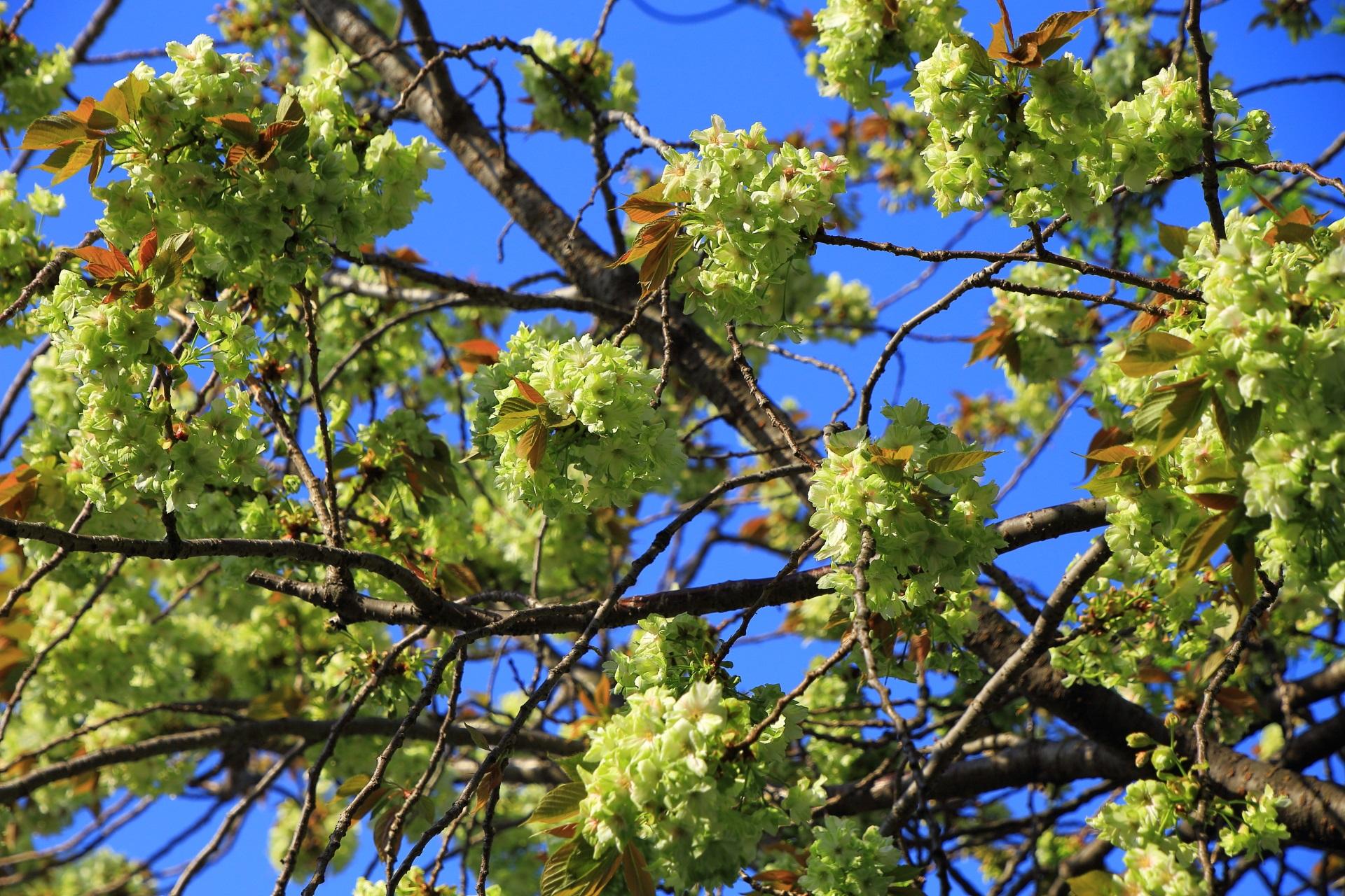 本当に緑色の満開のギョイコウ桜