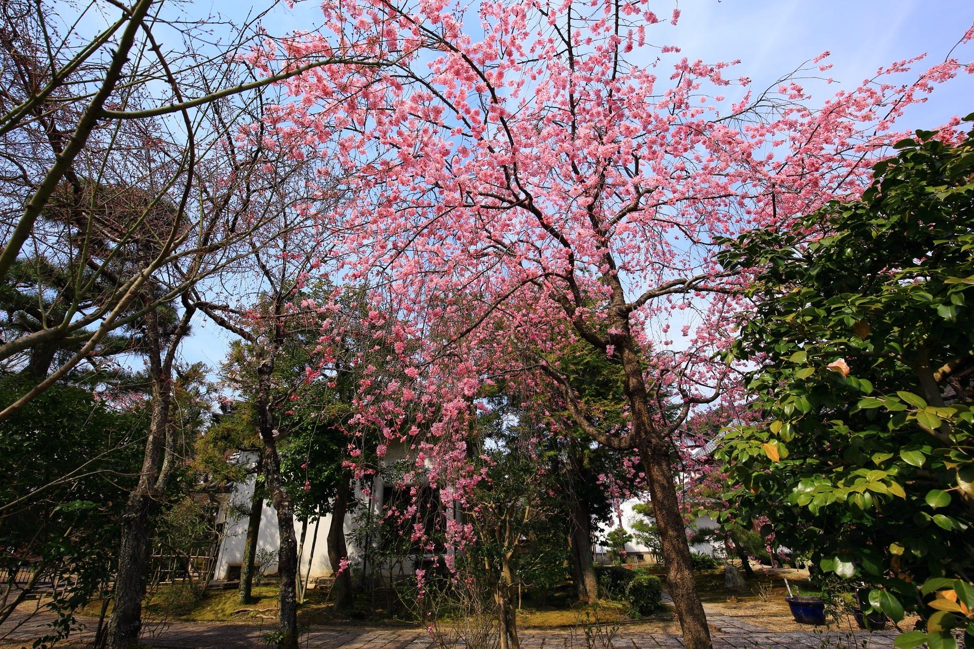 華やかな彩りの境内のしだれ桜