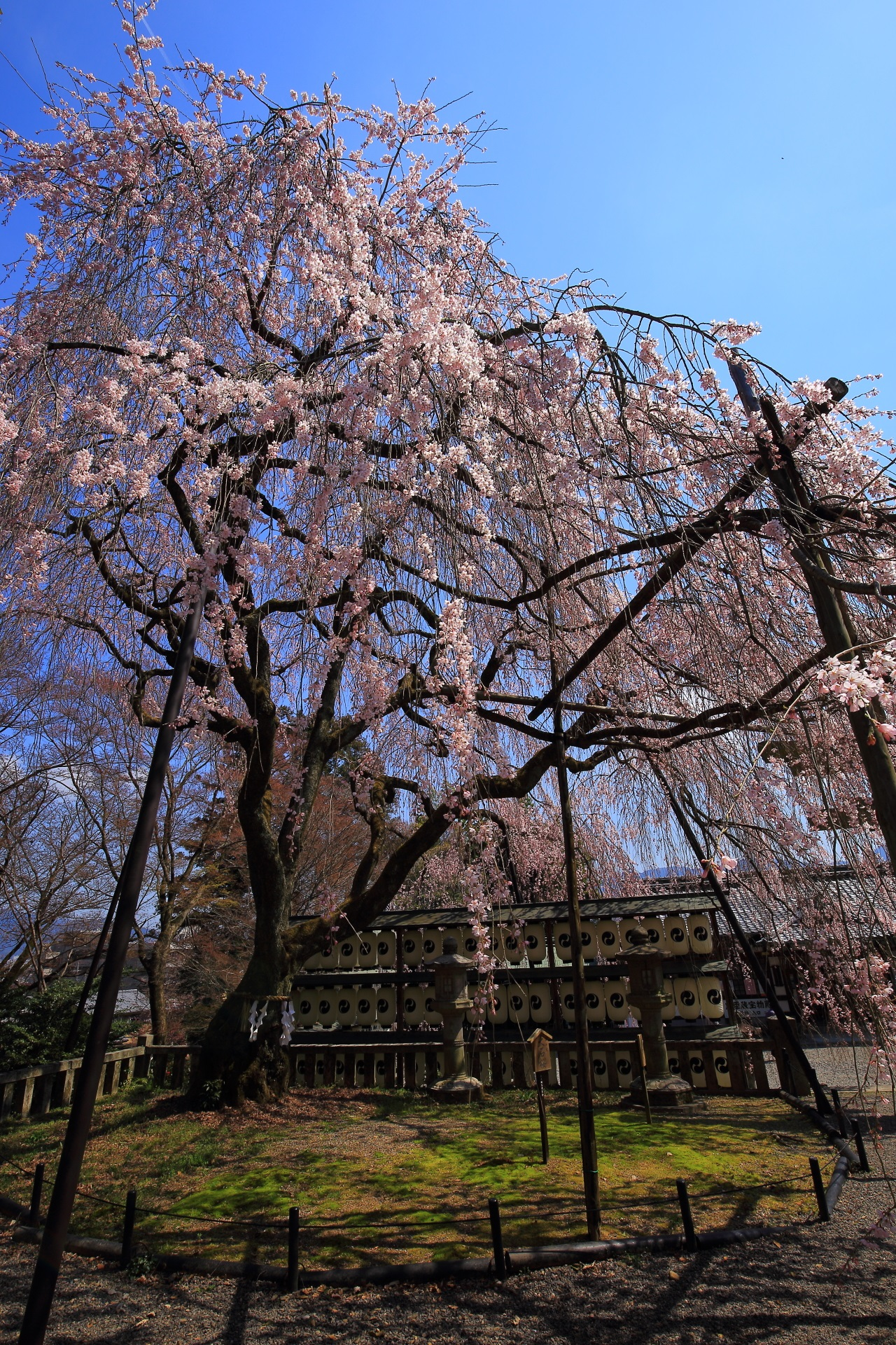 Kyoto Oishi Jinja shrine weeping cherry tree