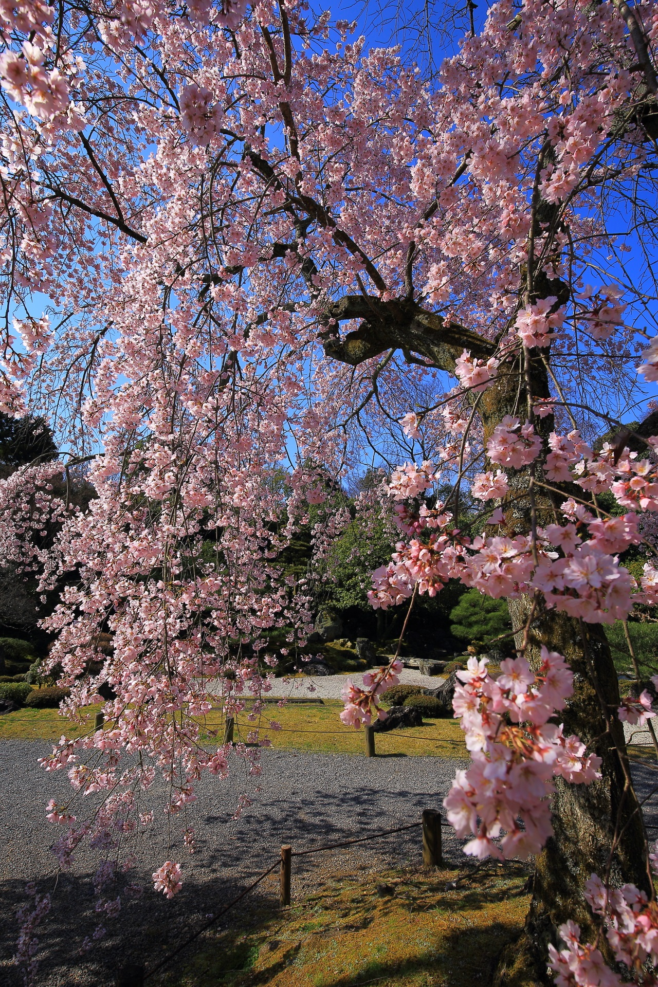 華やかに咲き誇る満開のしだれ桜