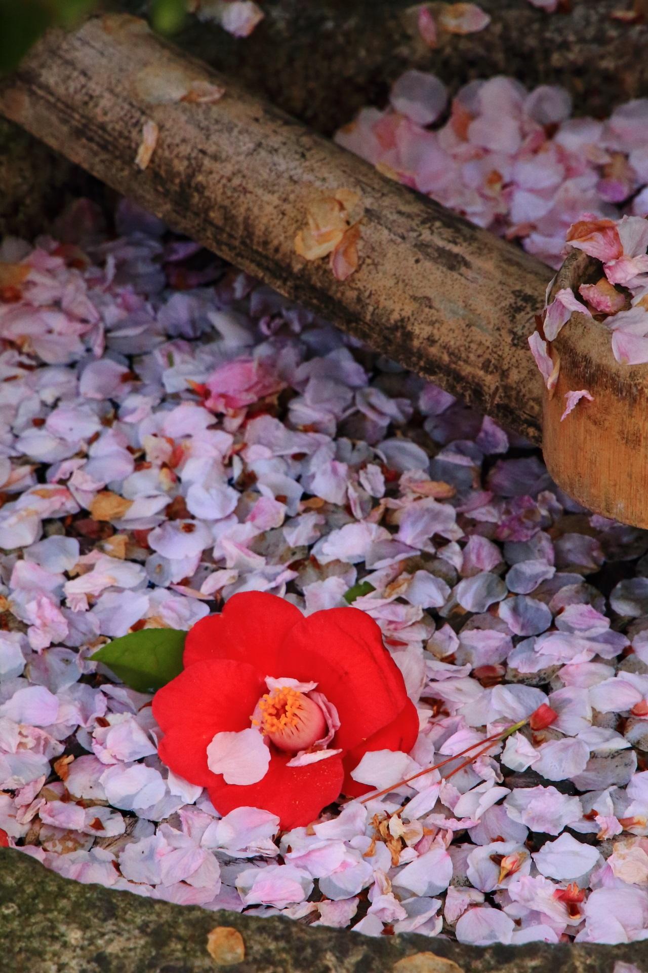 風情と華やかさをあわせ持つ散り椿と散り桜