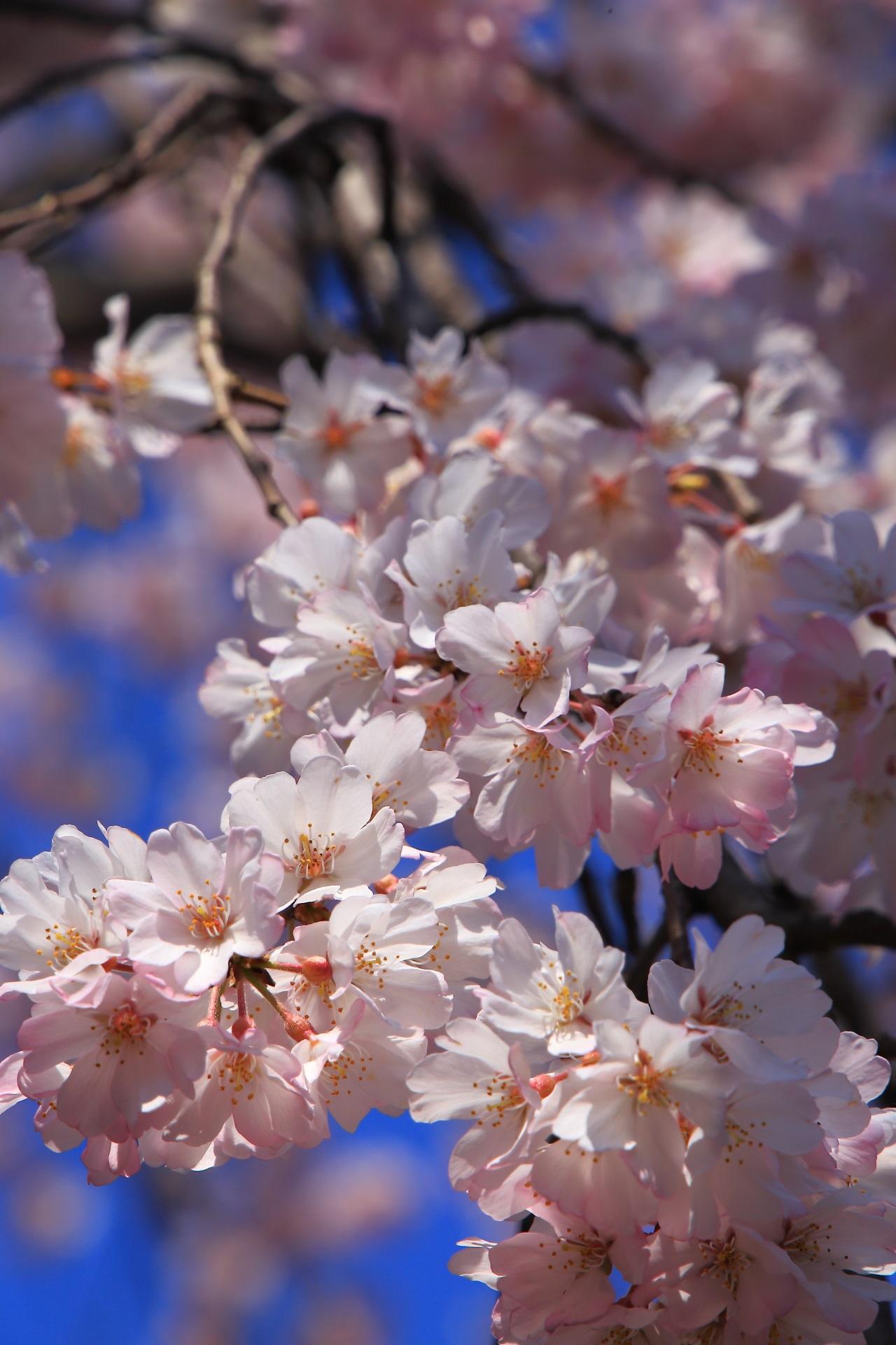 これぞ春の桜といった感じがする光景
