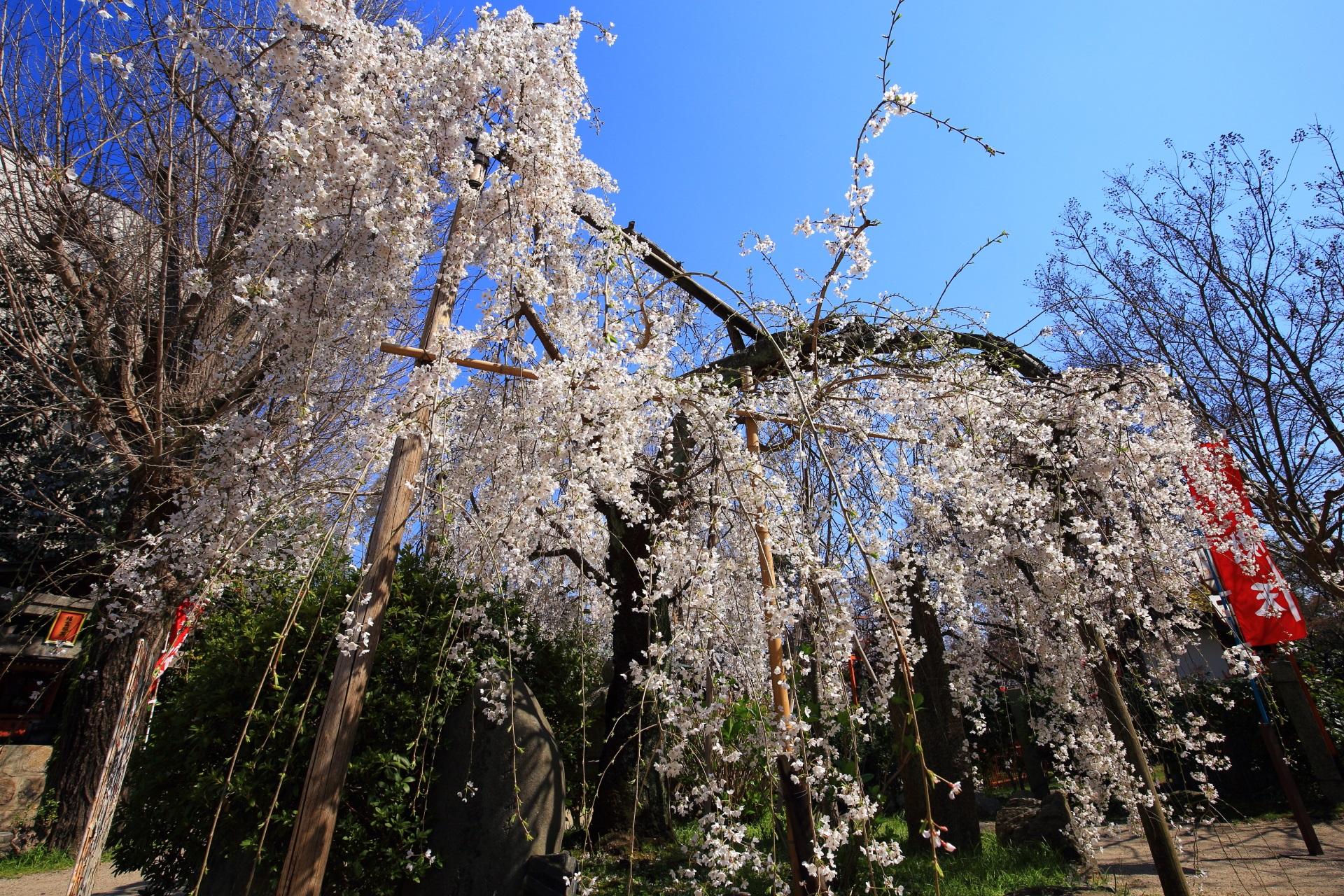 青空に映える白い桜