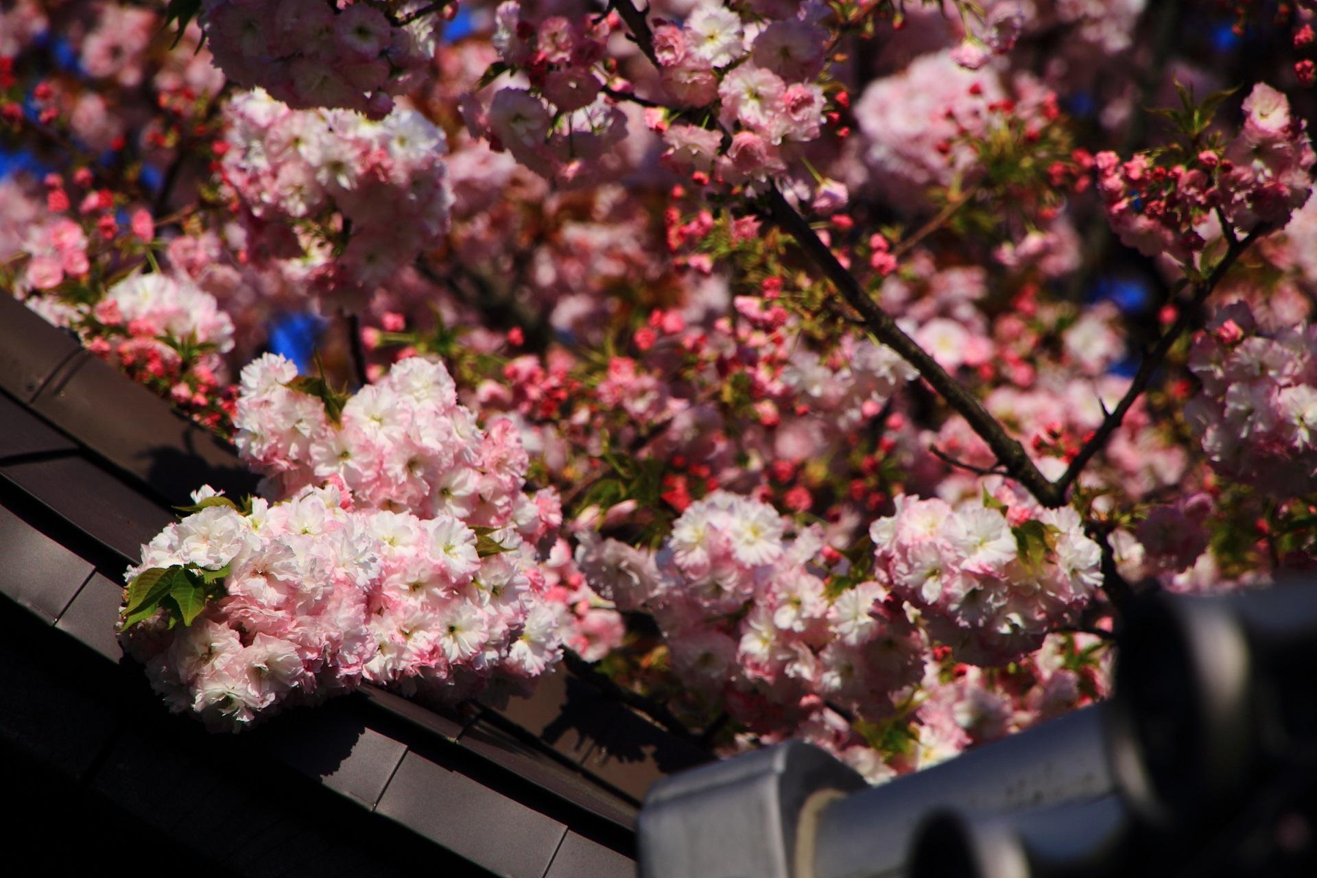 華やかなピンクの花をいっぱいつける桜
