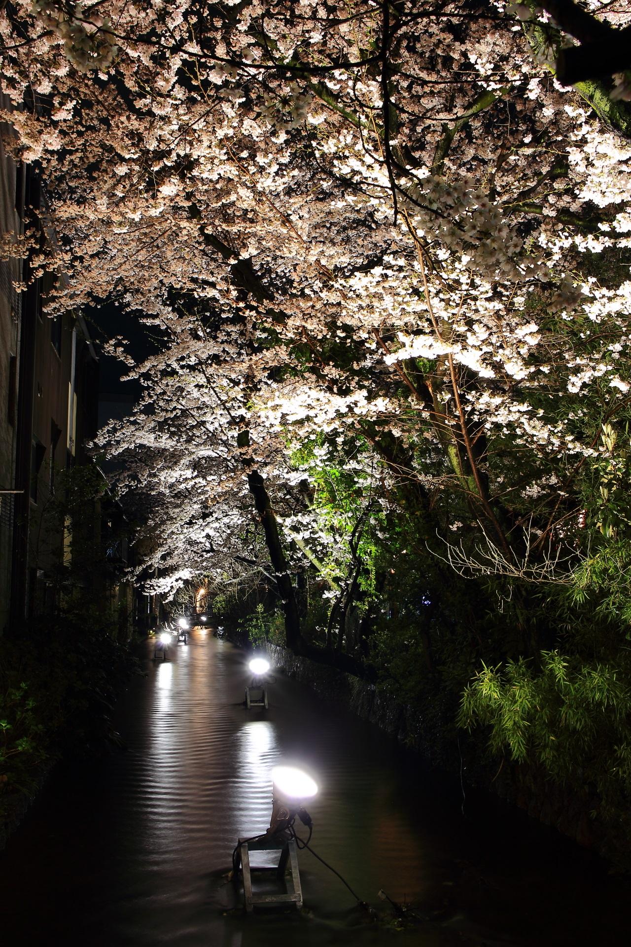 高画質 写真 高瀬川 桜ライトアップ