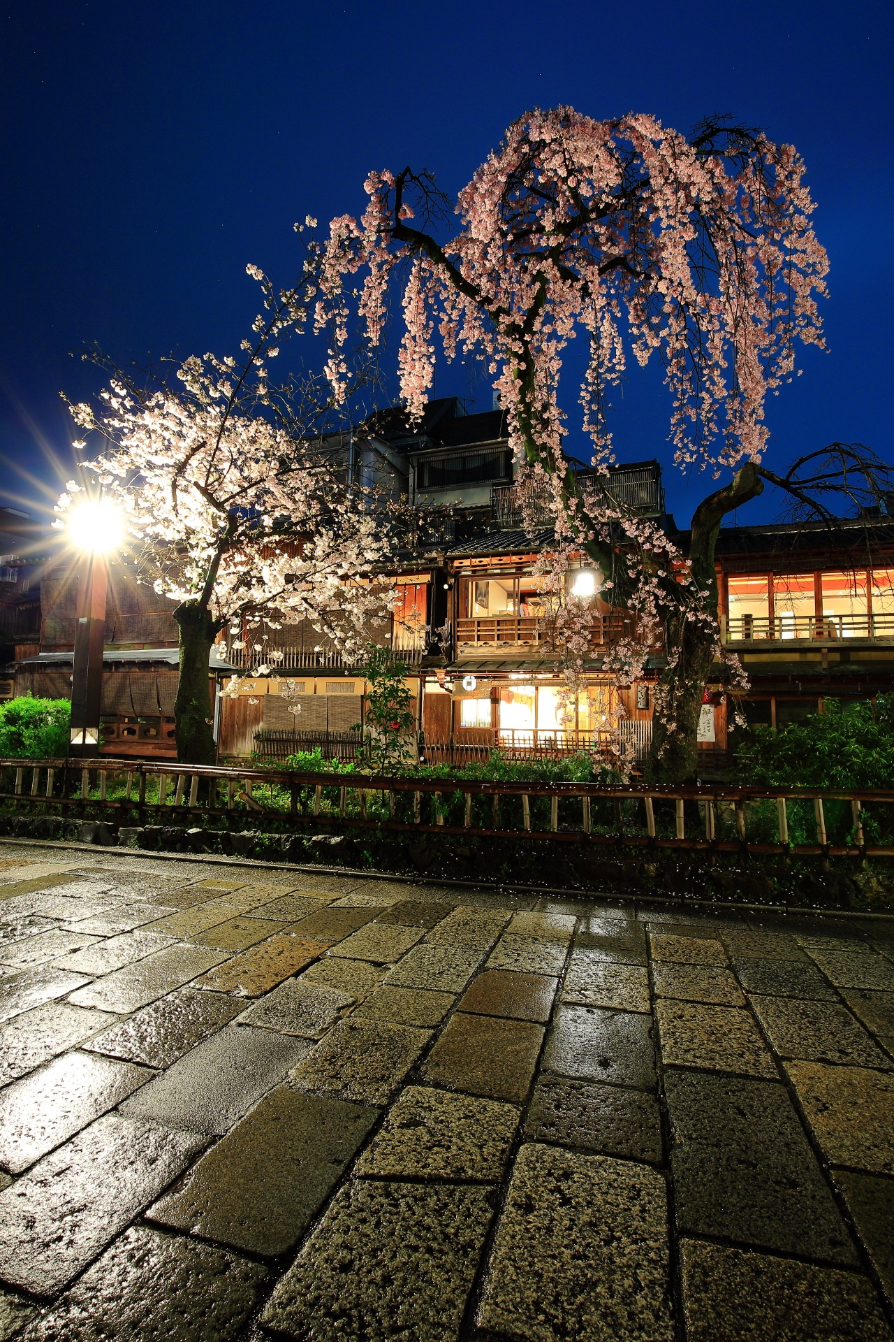 weeping cherry tree Gion Shirakawa in Kyoto,Japan