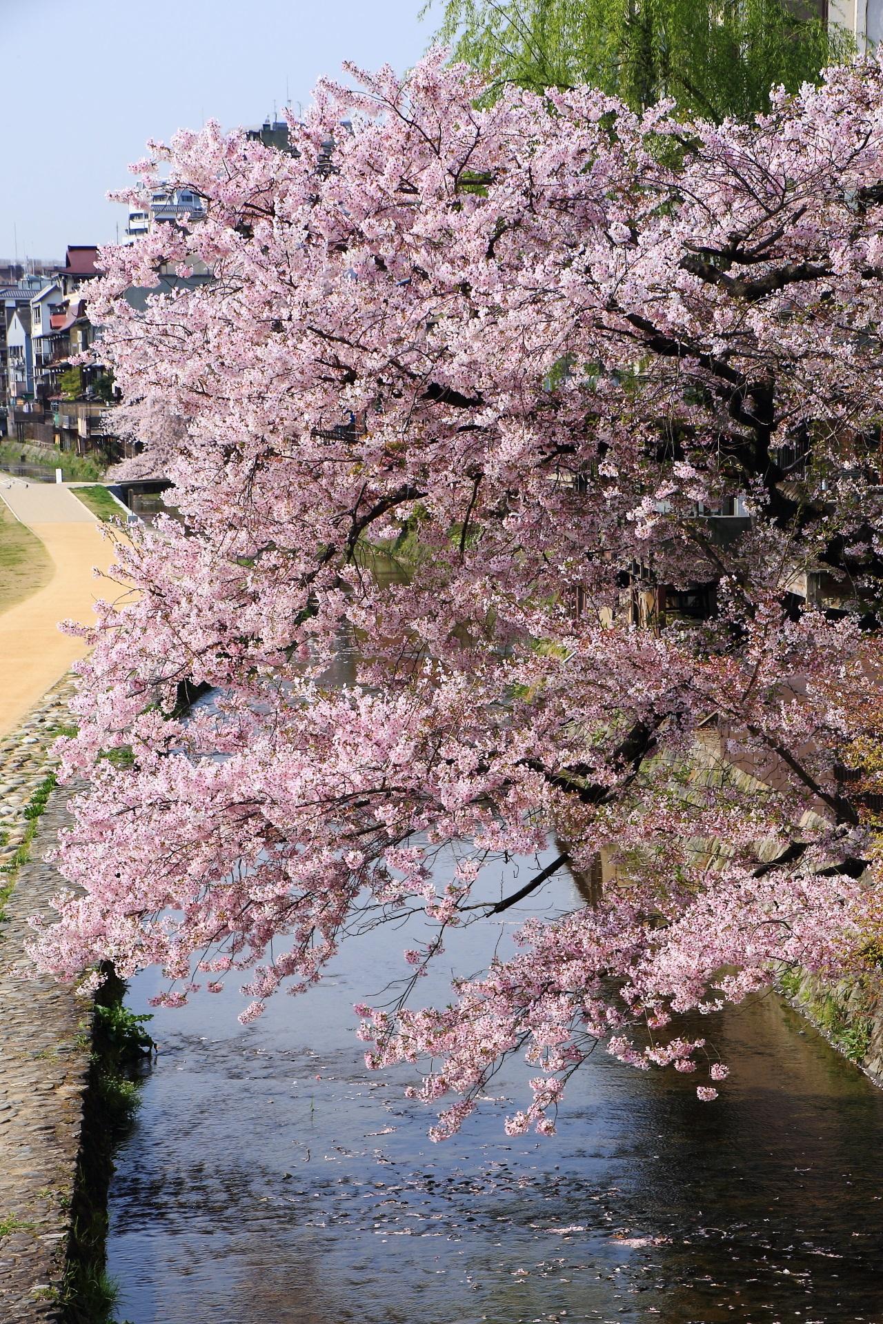 Kyoto Misosogigawa-River cherryblossoms
