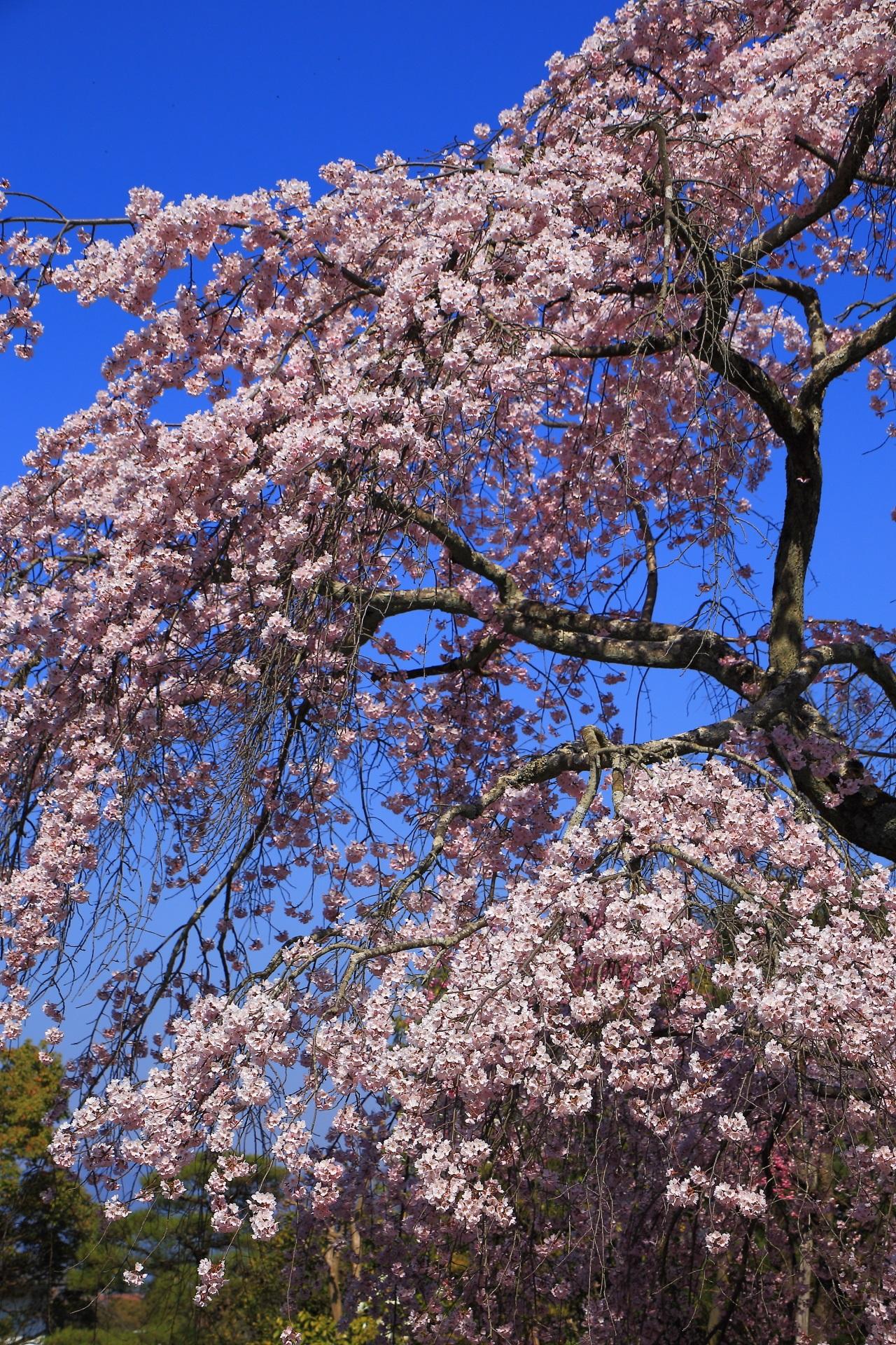 友禅苑の形も美しい絶品のしだれ桜