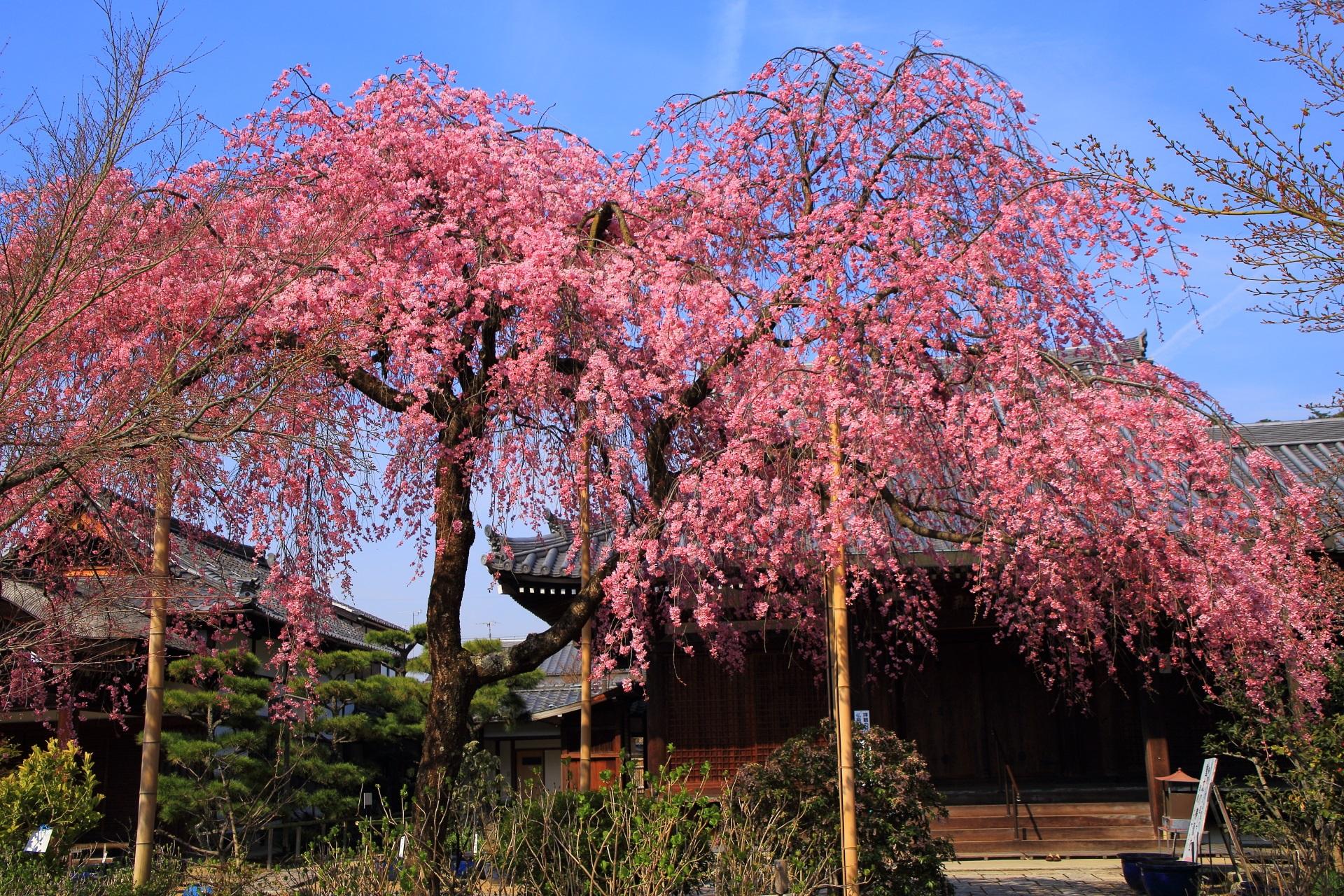 高画質 写真 桜 法金剛院