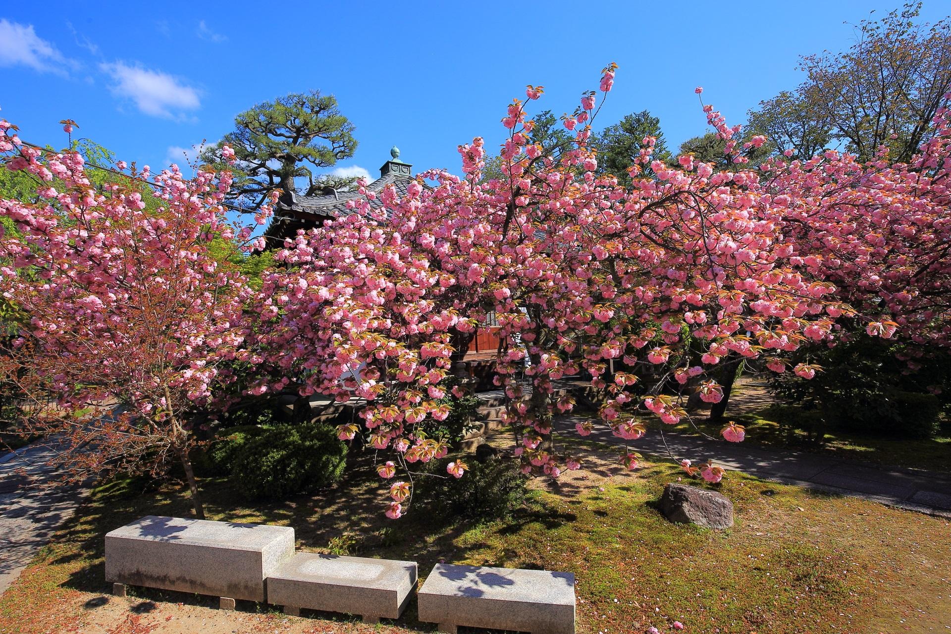 花がモコモコした満開の八重桜