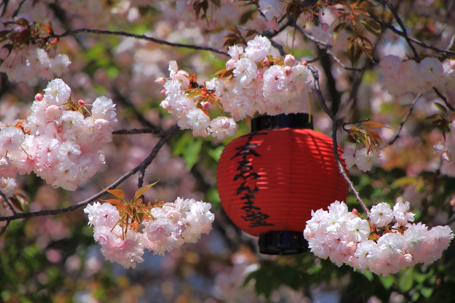散り方に特徴があるゑんま堂普賢象桜