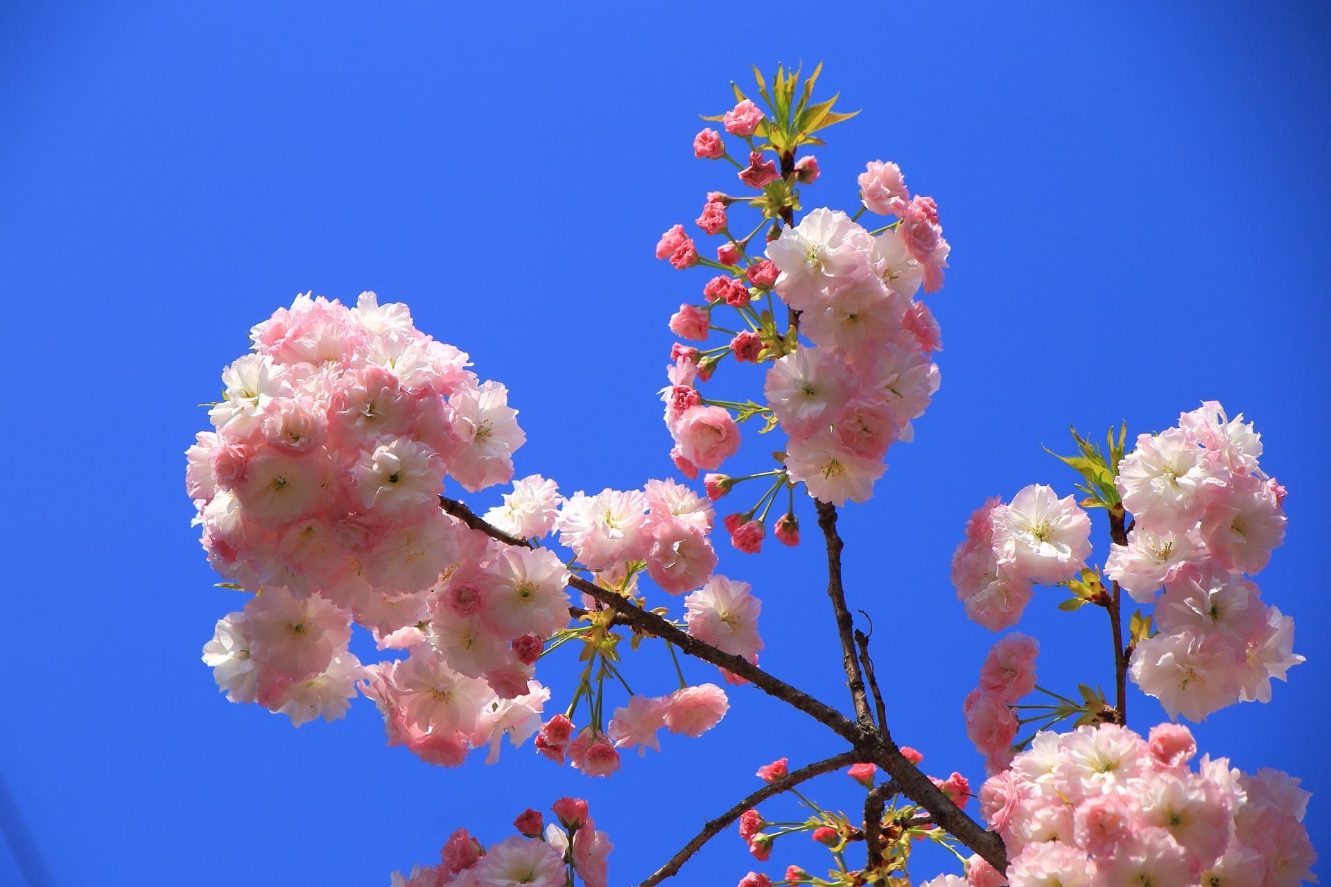薄いピンクや濃いピンクなどの華やかなピンクの桜