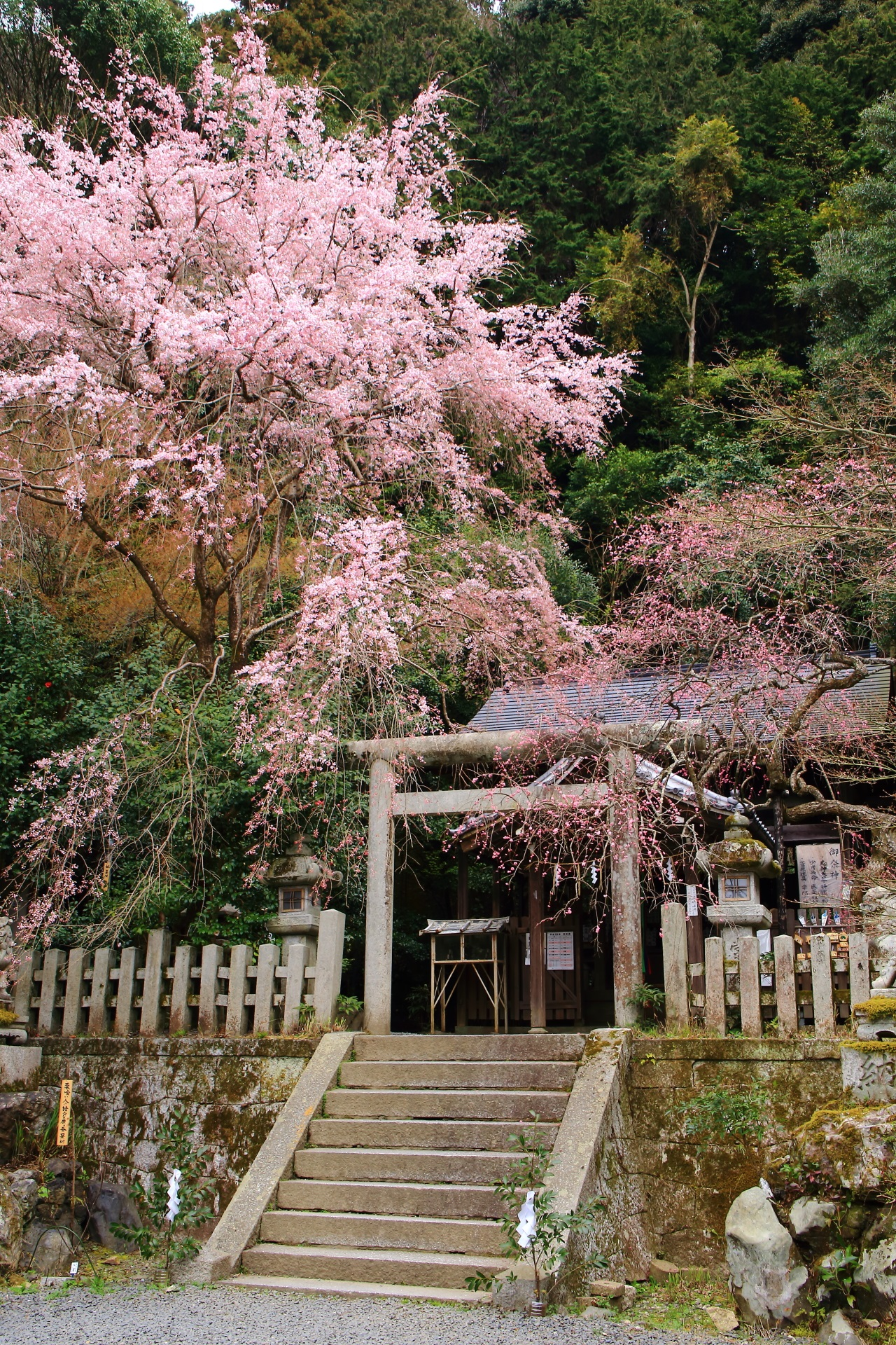 Kyoto Otoyo-jinja shrine weeping cherry tree and plum blossom