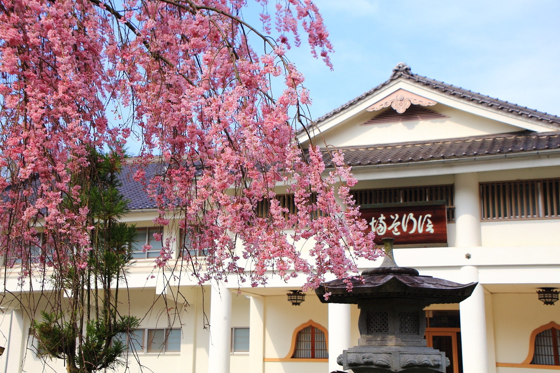 建物にも良くあうピンクのしだれ桜
