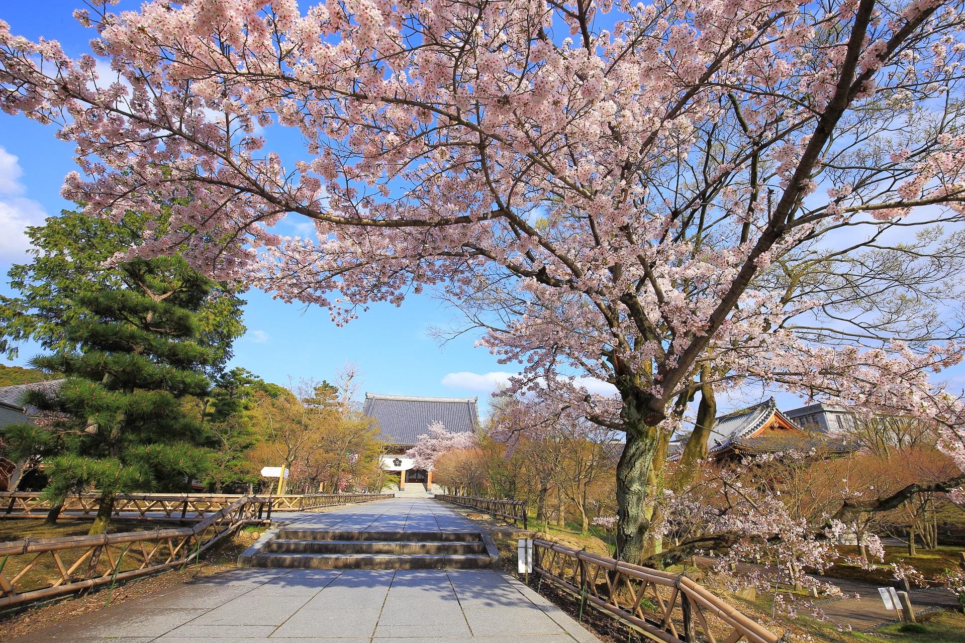 絵になる風景の金堂正面参道の桜