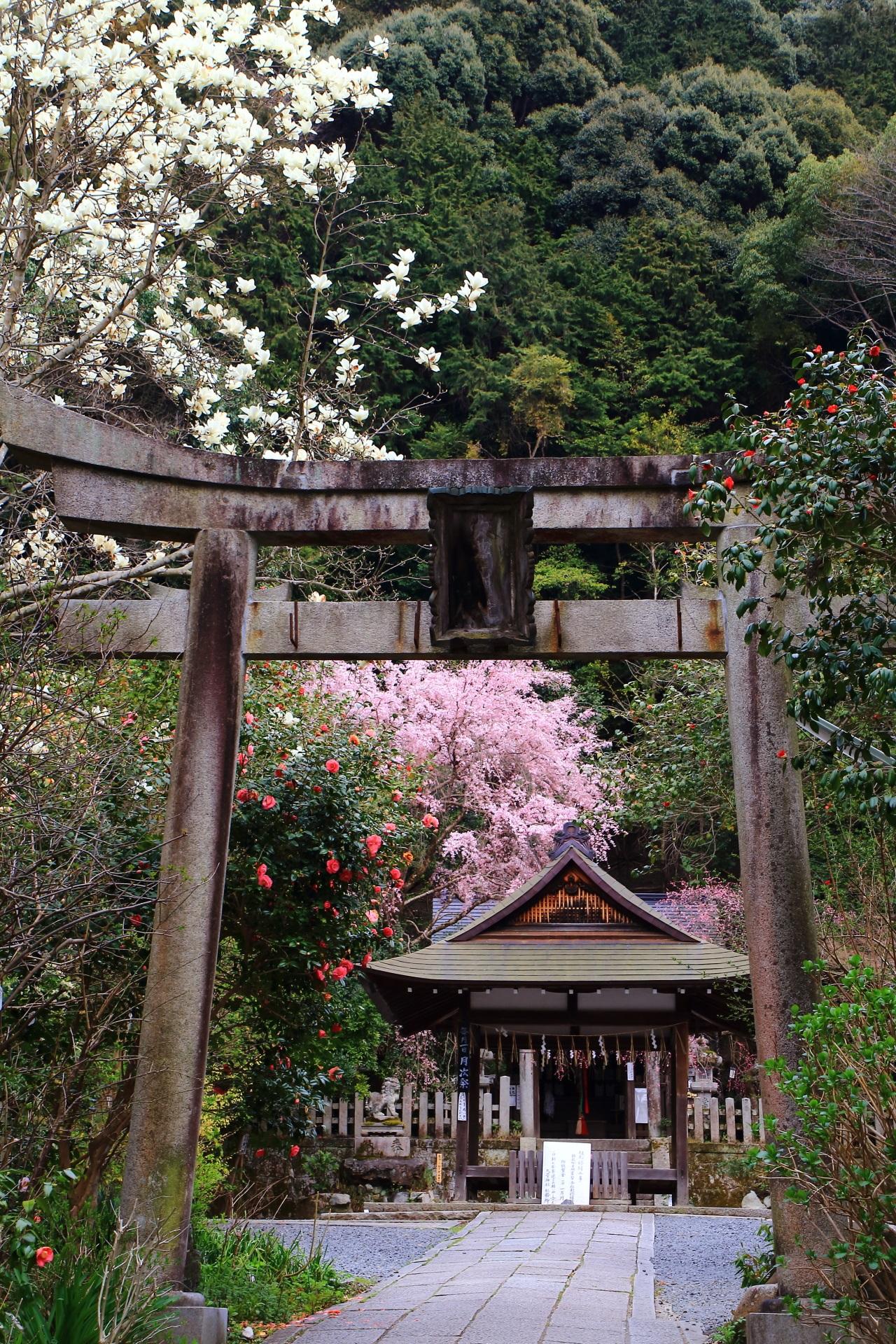 大豊神社の桜と梅と椿と木蓮