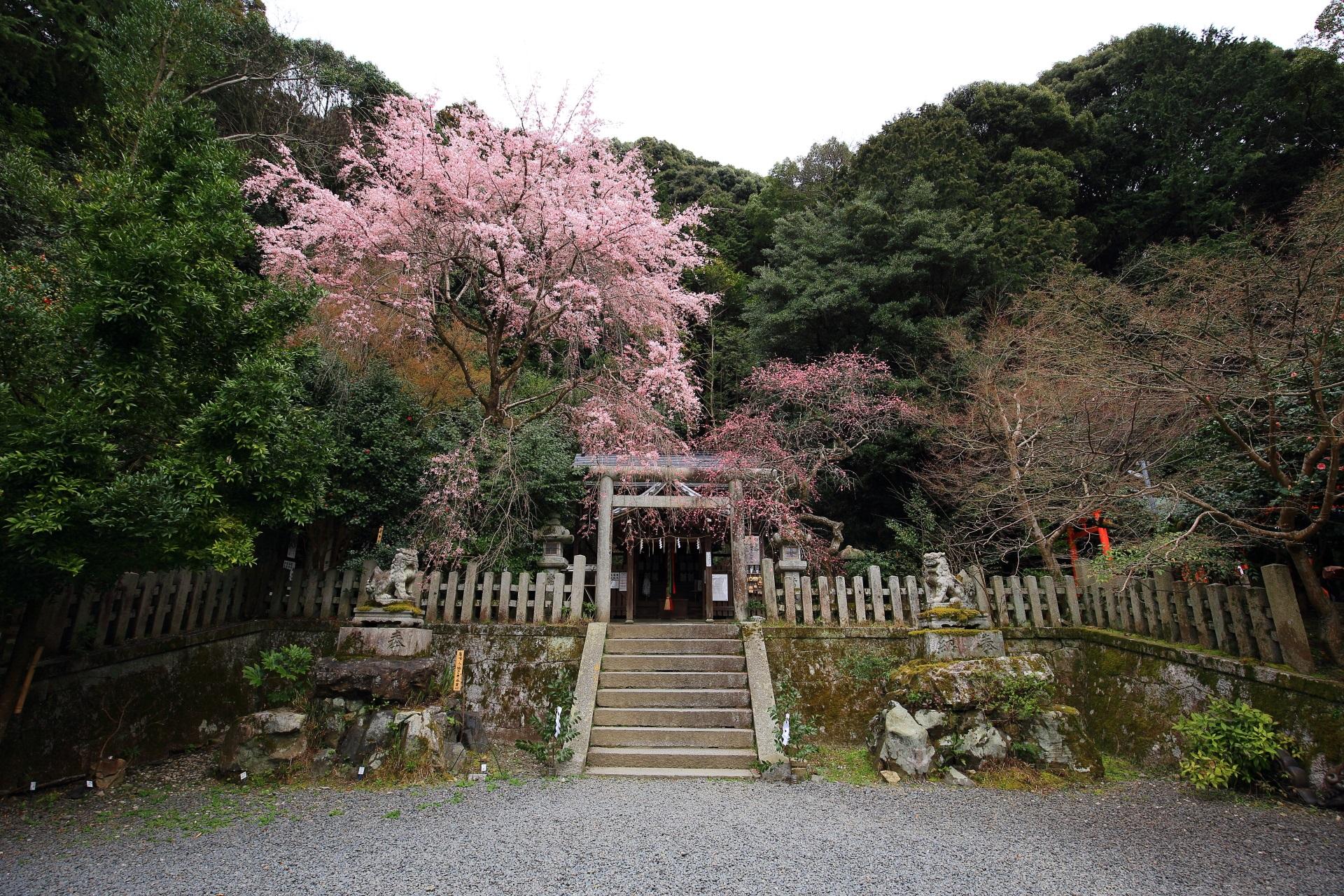 大豊神社の本殿前のしだれ桜としだれ梅