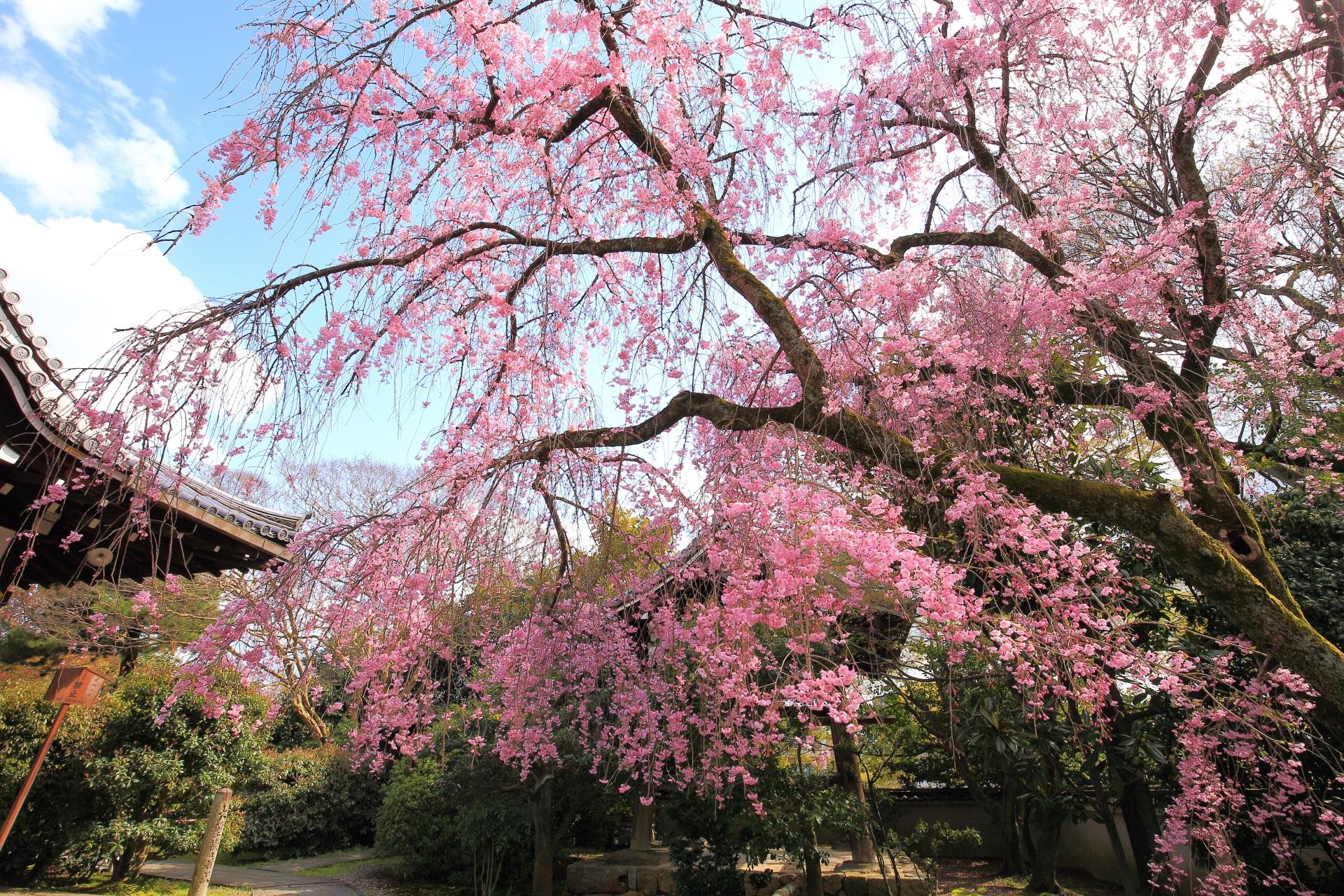 玄関前の鐘楼と枝の形が芸術的なしだれ桜