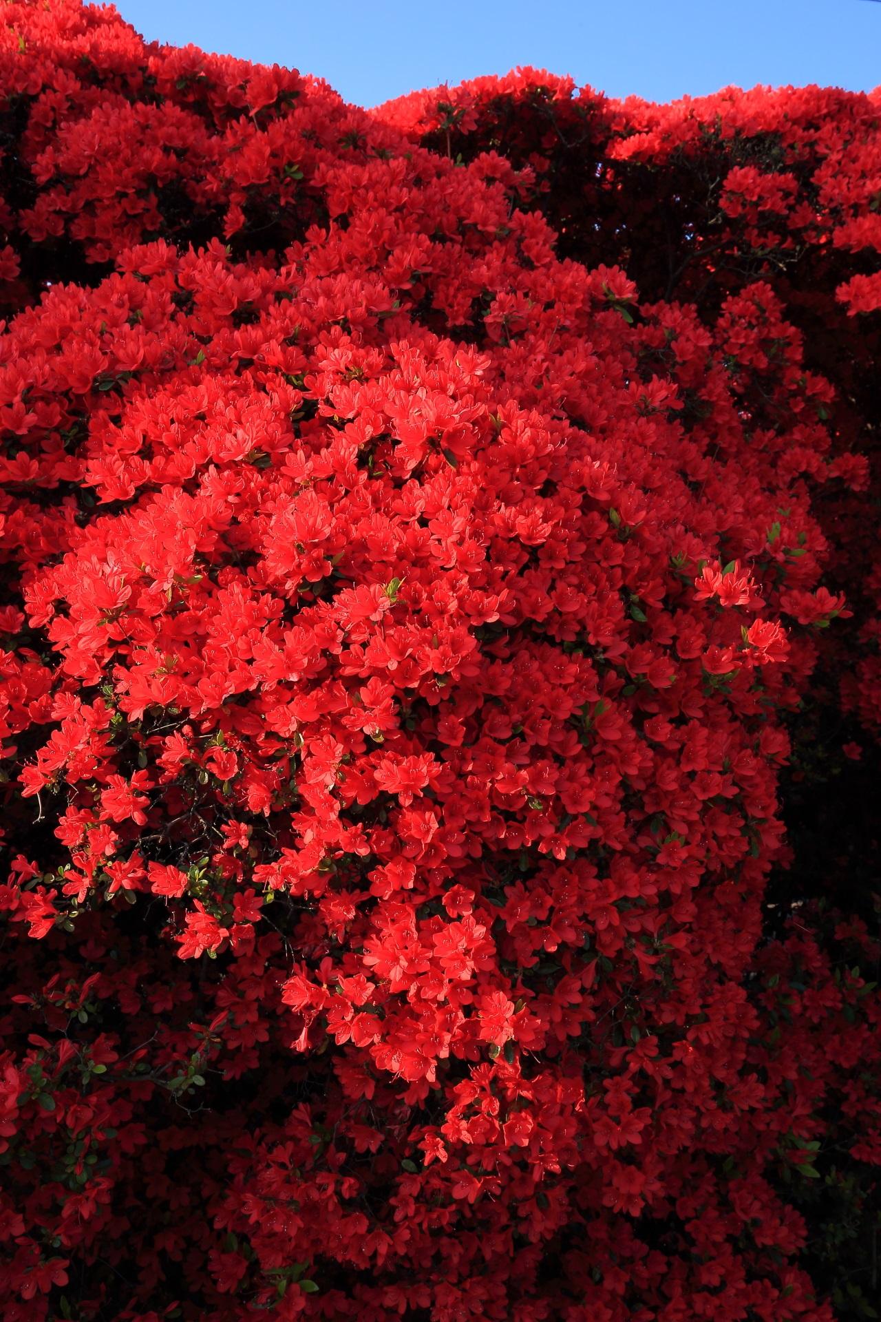 豪華な赤さの長岡天満宮の豪快なツツジ