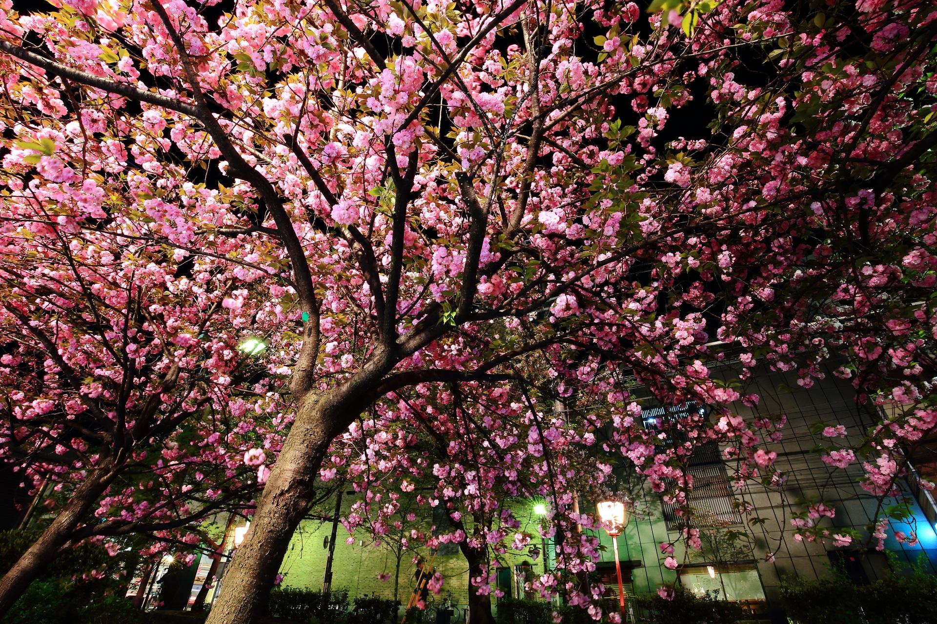 花がモコモコした満開の夜桜