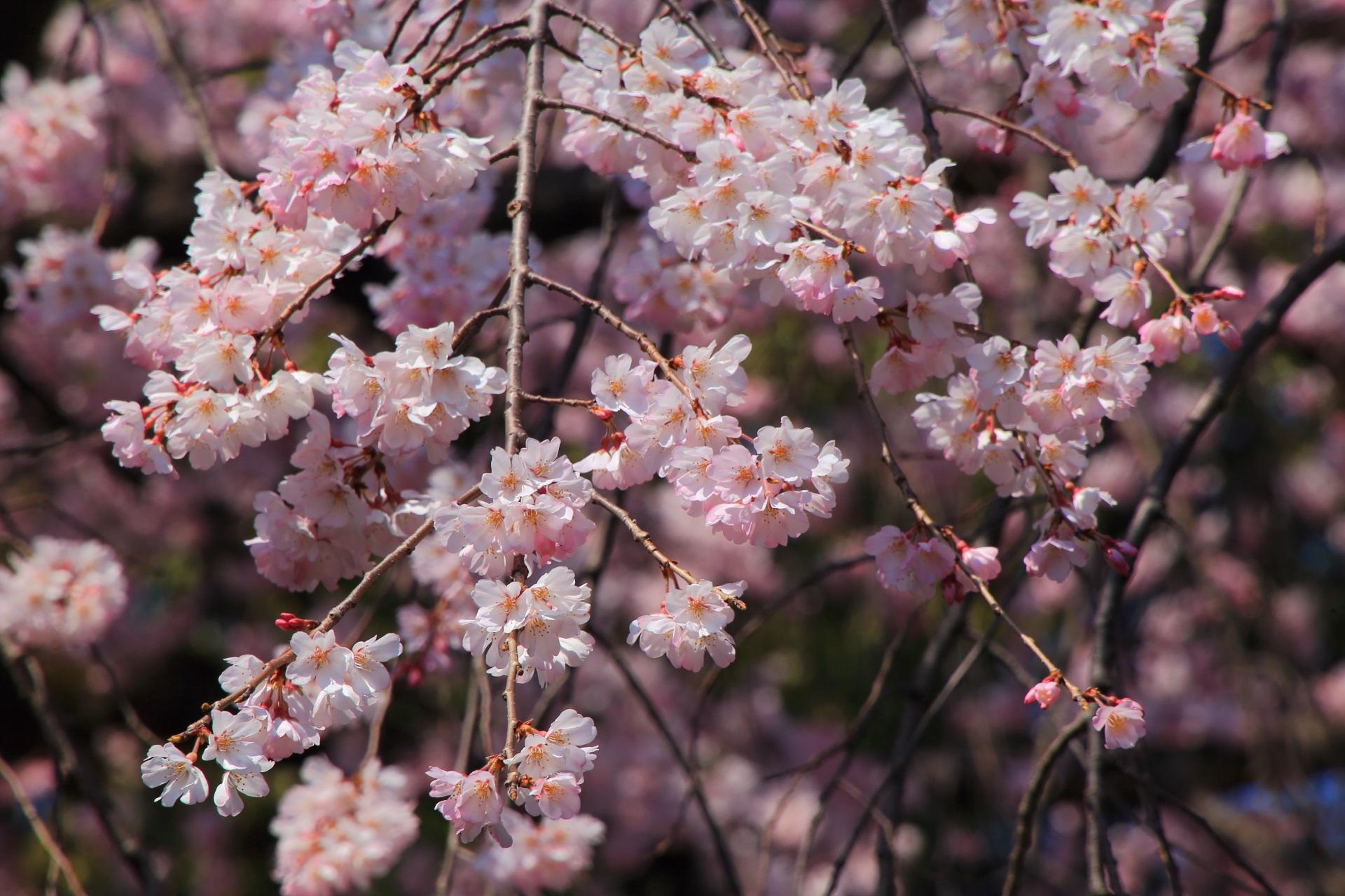 超満開の桜につつまれた深草の瑞光寺