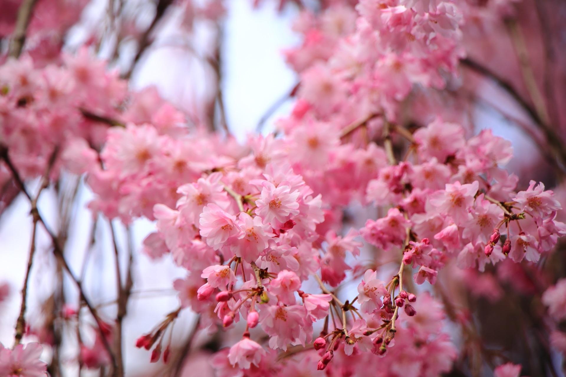 華やかで柔らかい感じもするピンクの花びら