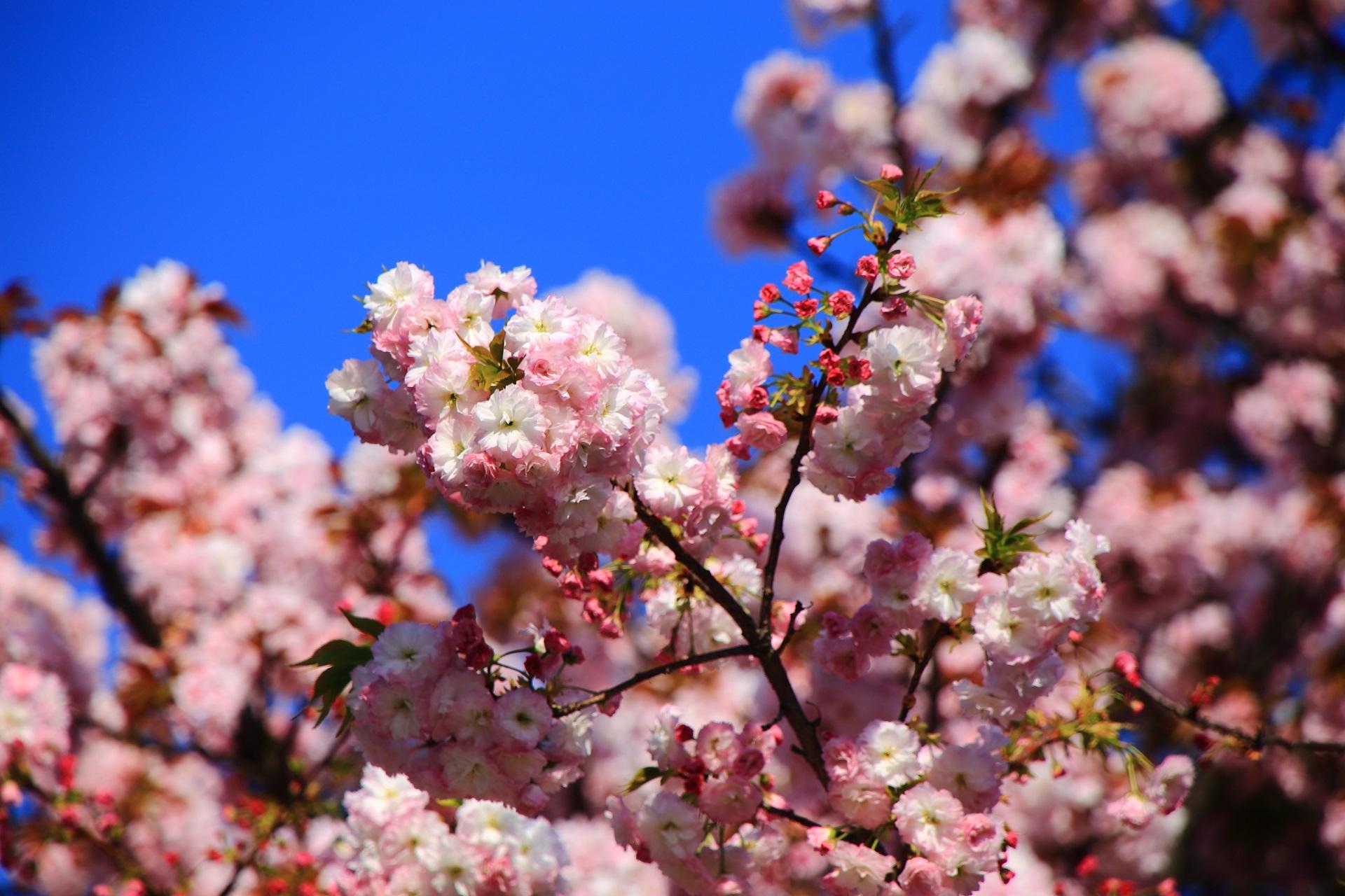 青空に映える雨宝院の桜