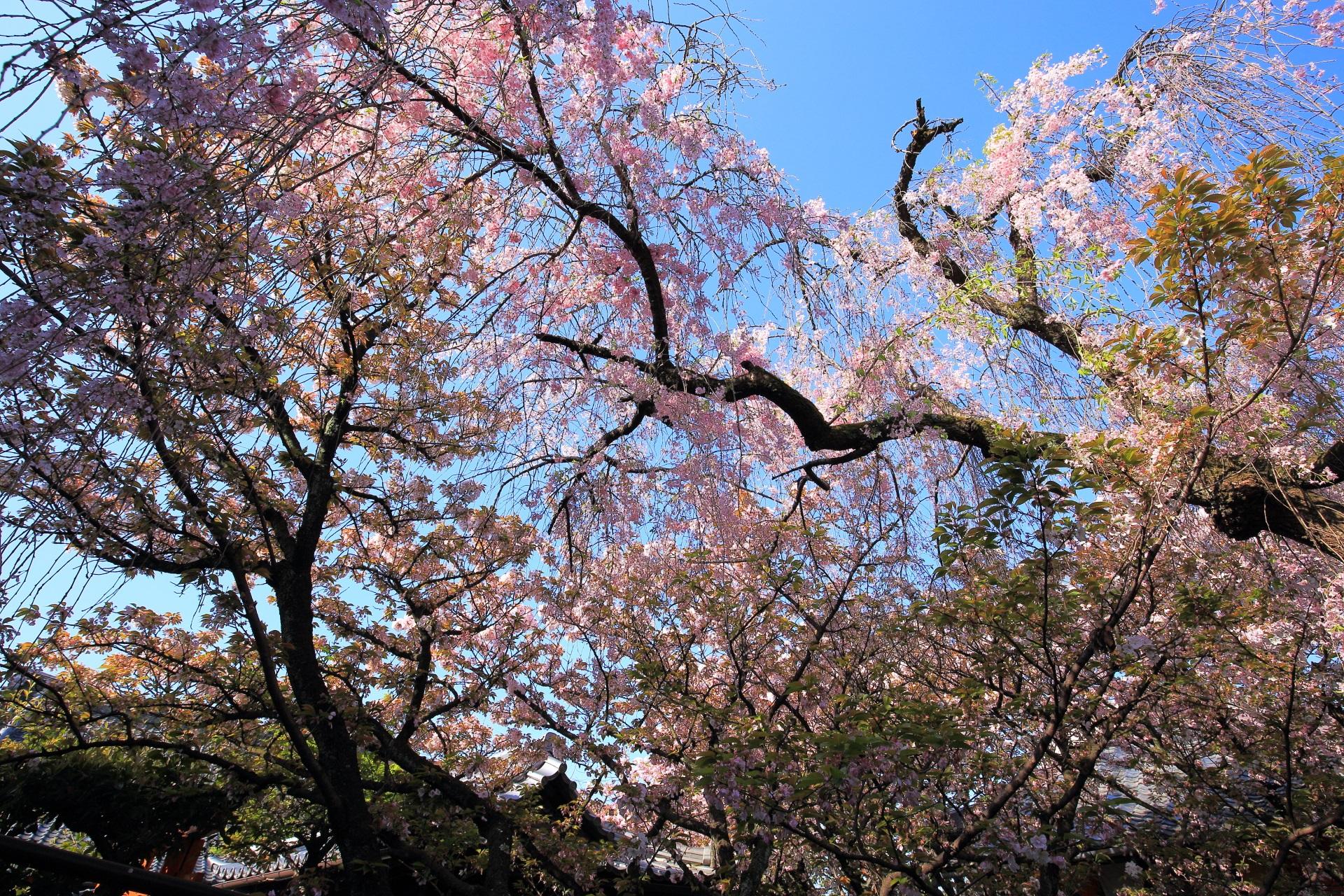 青空からピンクの花が降り注ぐしだれ桜