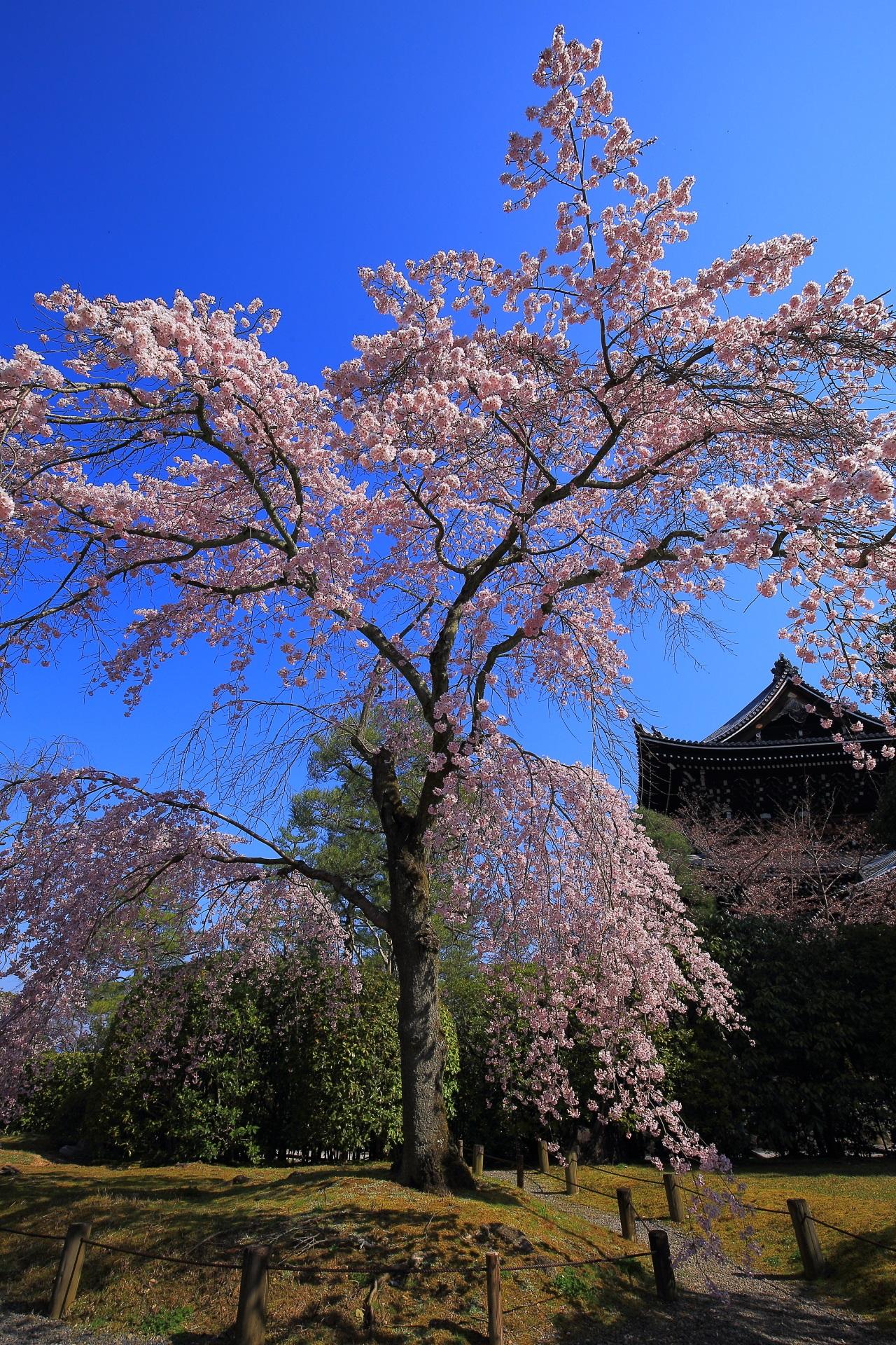 高画質 写真 桜 友禅苑