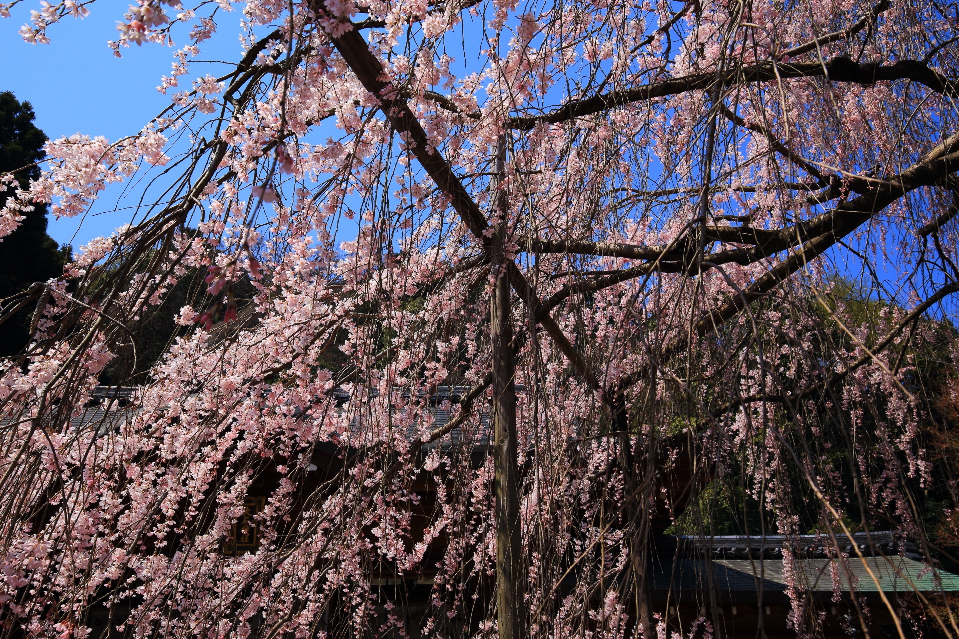 しだれ桜の内側から眺めた桜と本殿