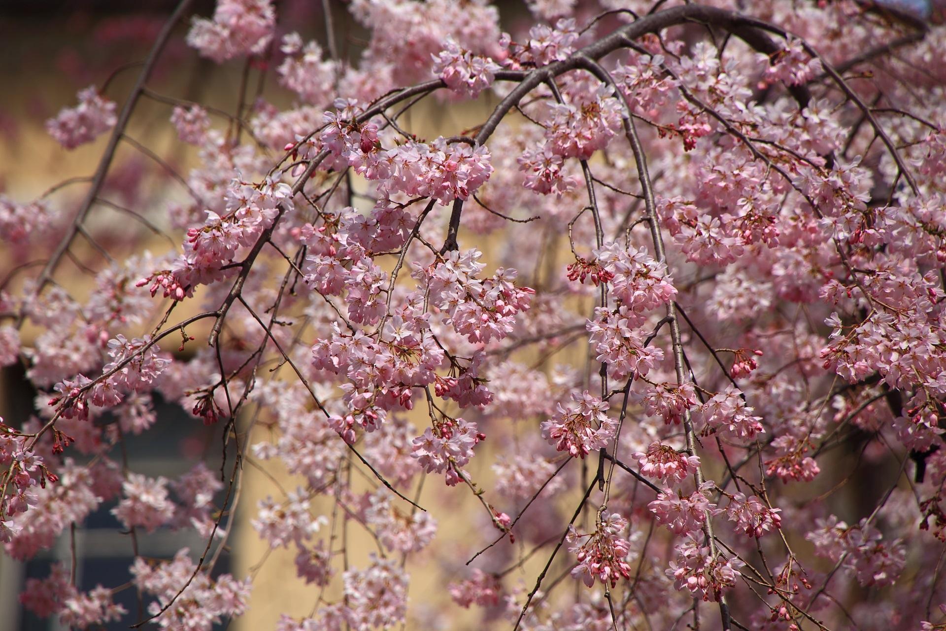 幾分か蕾もあるも見ごろの華やかな桜